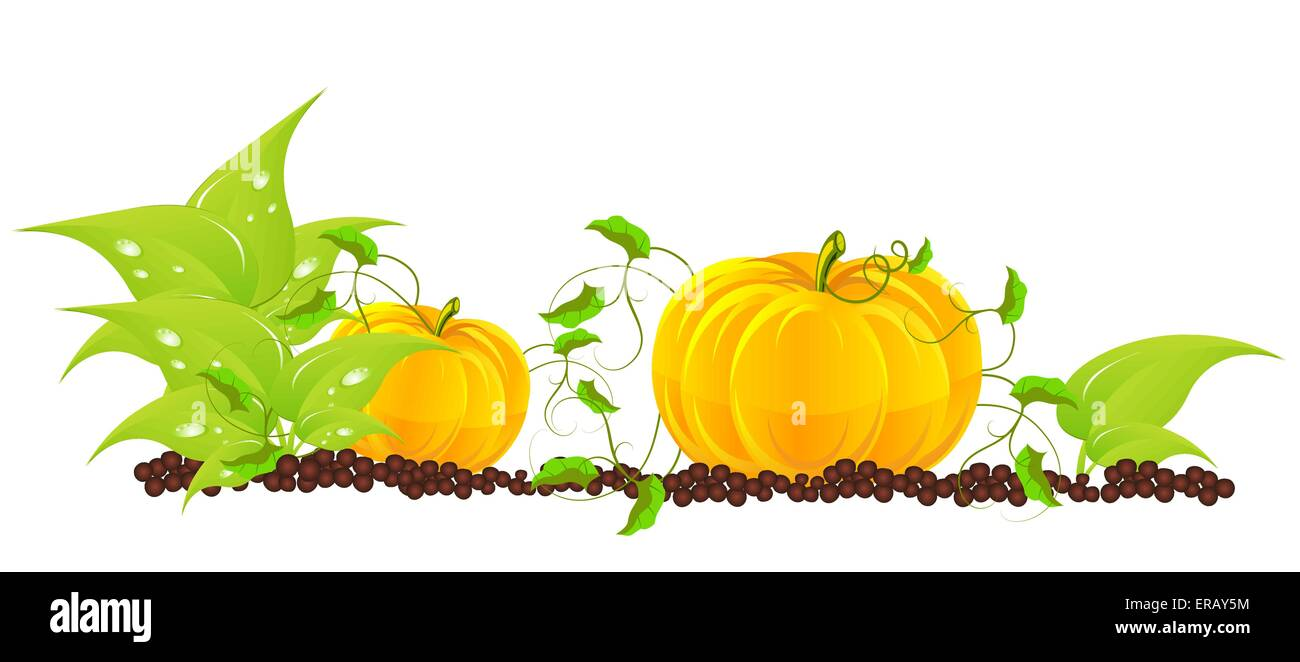 Pumpkins grow in a garden - Stock Vector