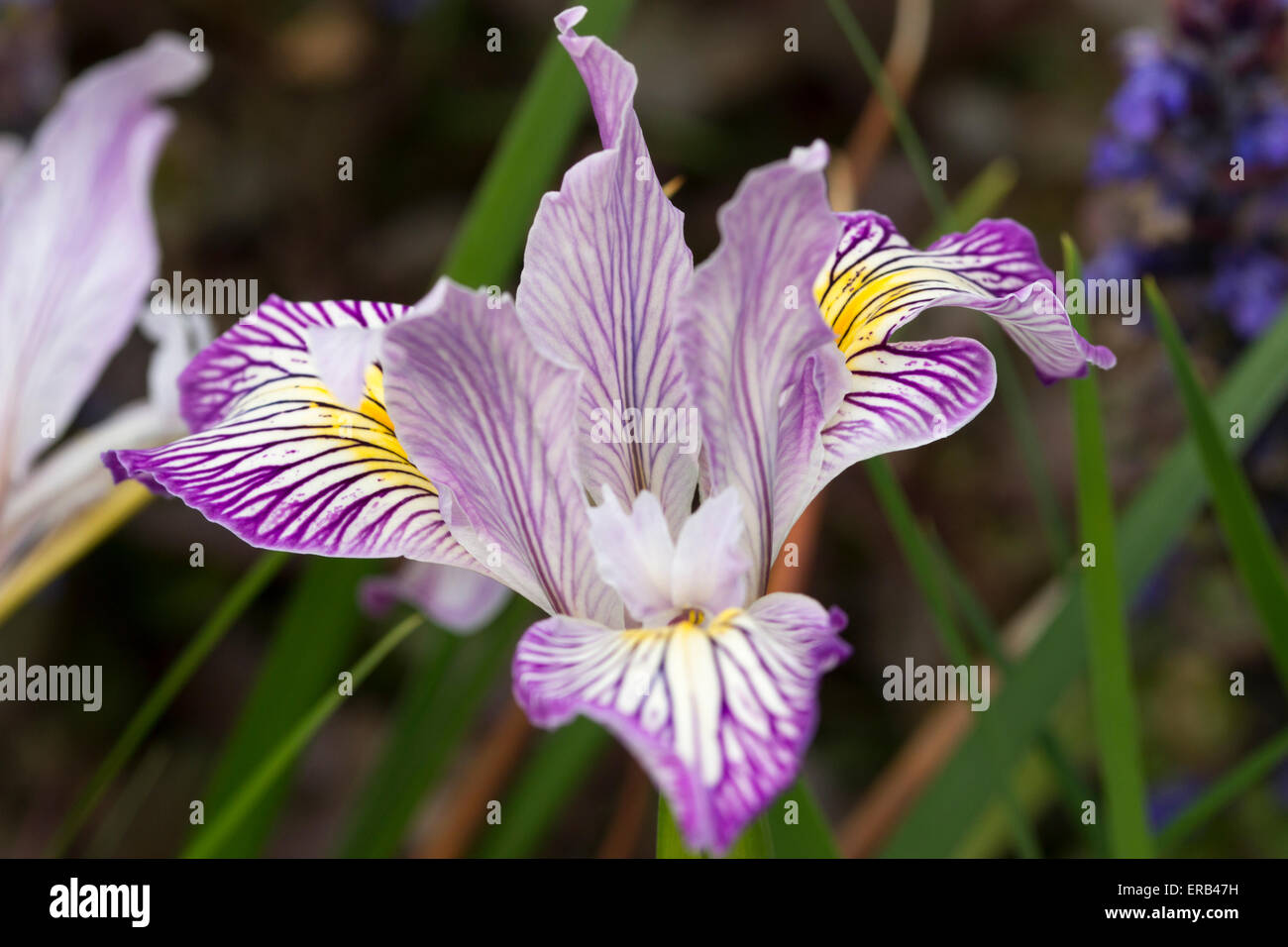 Californian or Pacific Coast hybrid Iris seedling - Stock Image