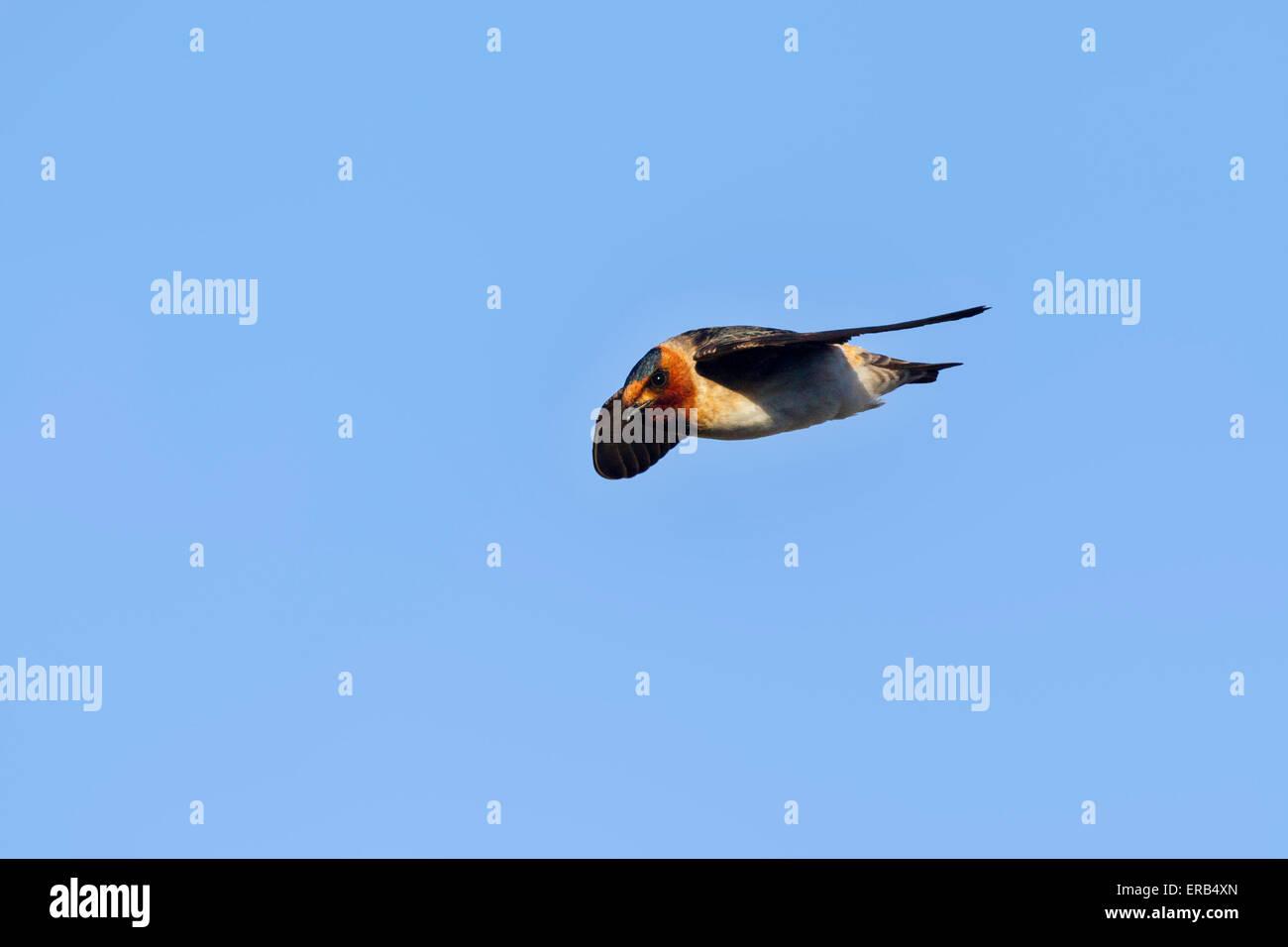 Cliff Swallow  Hirundo pyrrhonota melanogaster Amado, Santa Cruz County, Arizona, United States 23 May     Adult - Stock Image