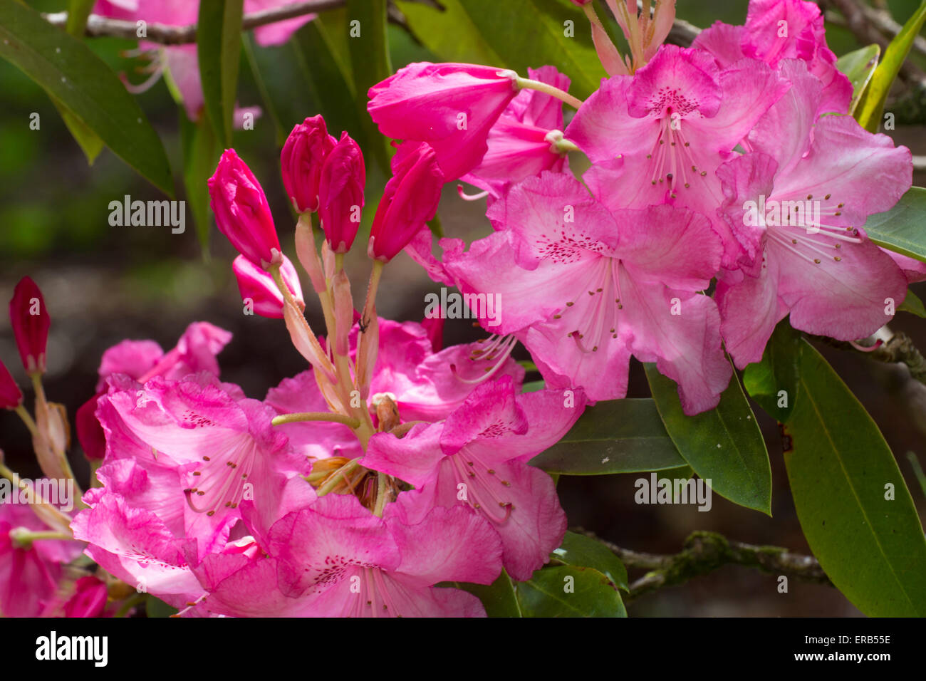 Late spring flowers of the Rhododendron arboreum x griffithianum hybrid 'Beauty of Tremough' - Stock Image