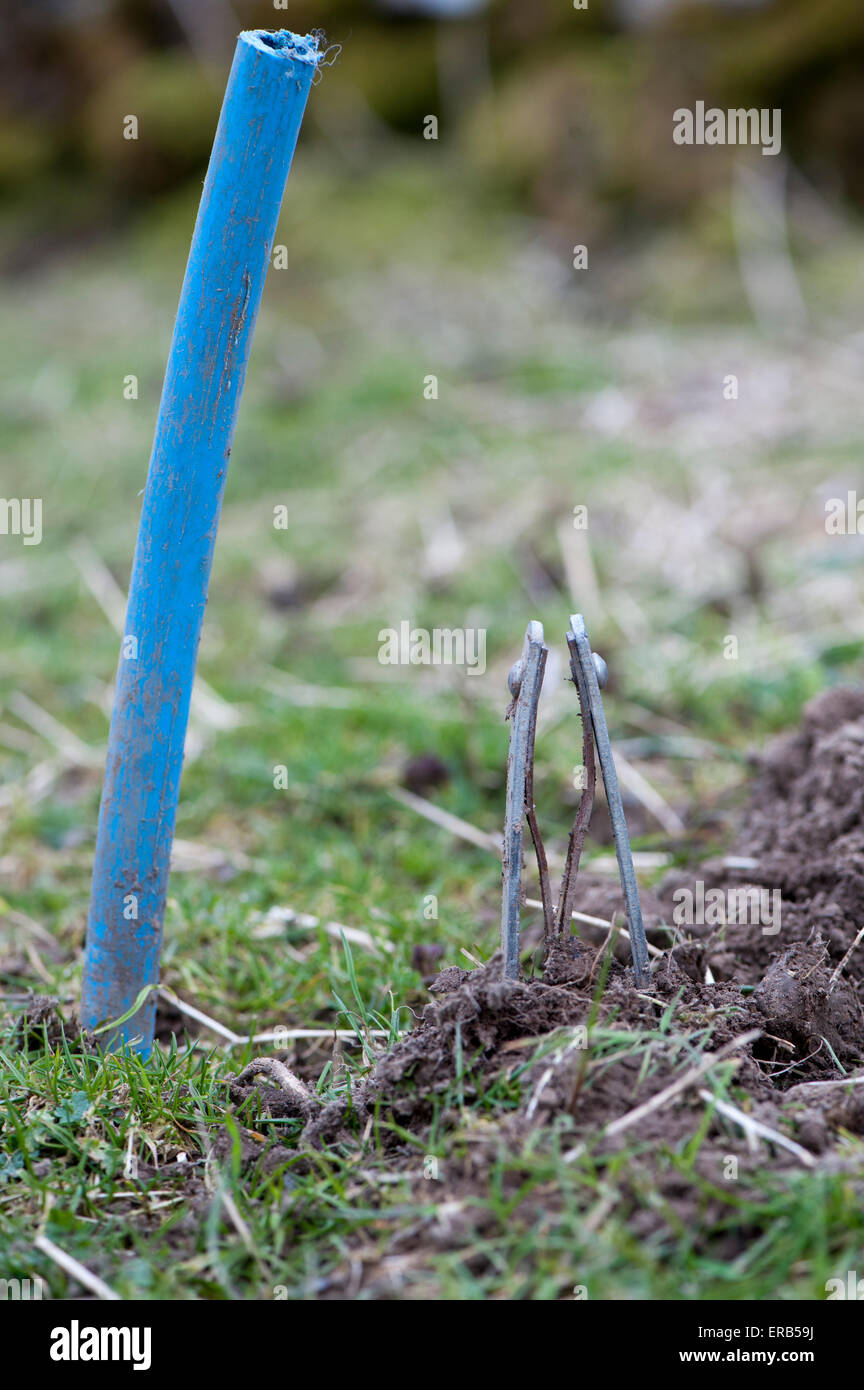 Nipper traps set in a mole run, with stick to mark site. UK - Stock Image