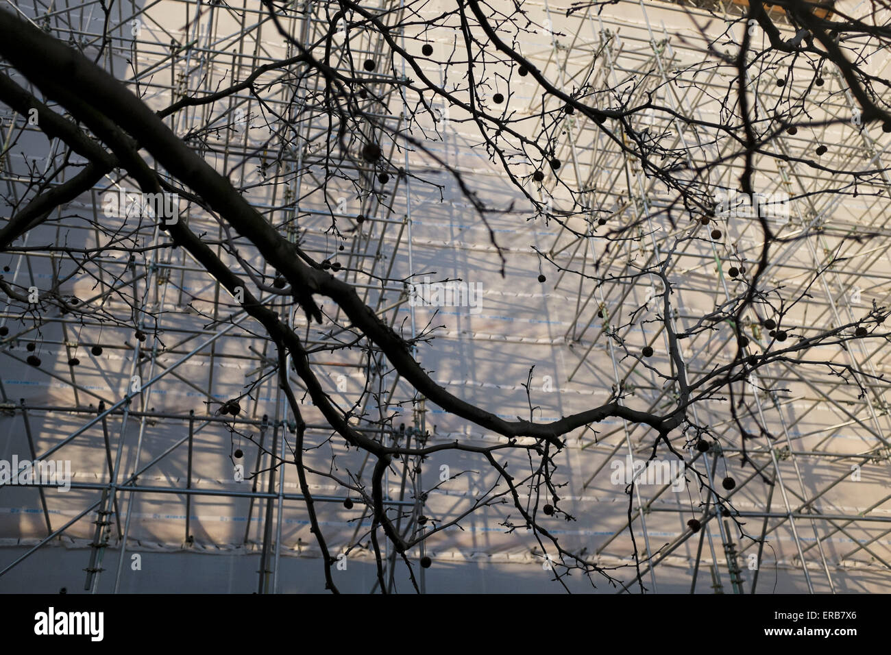 Patterns of the silhouette of tree branches against a scaffolding covered building. London, UK. - Stock Image
