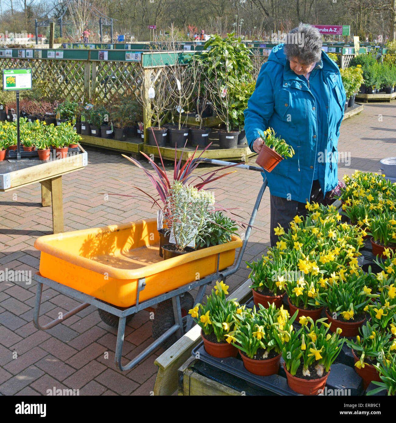 Woman selecting & buying spring plants in garden centre Essex England UK - Stock Image