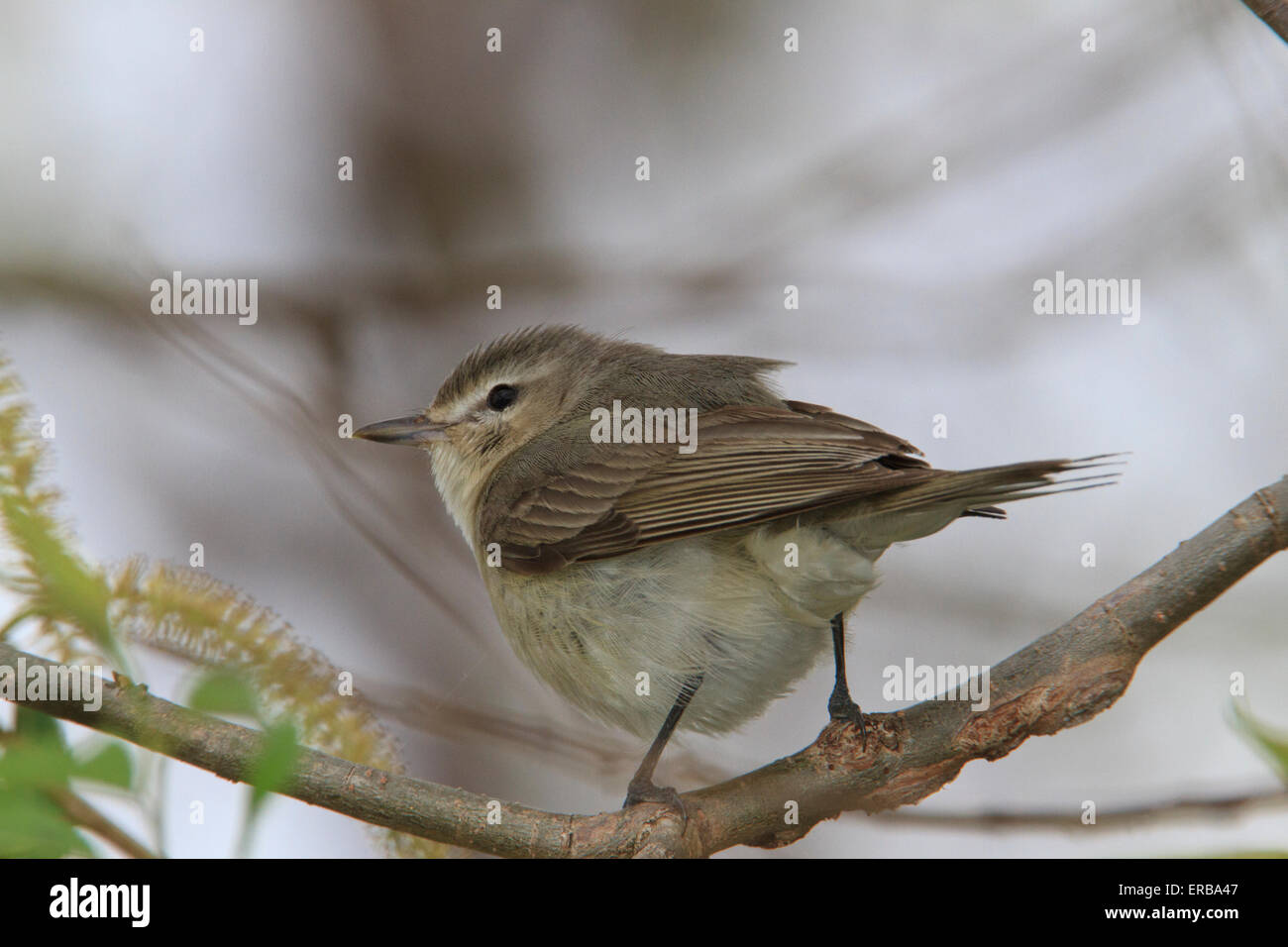 Warbling vireo (Vireo gilvus) on tree branch, Spring migration, Magee Marsh, Ohio. - Stock Image