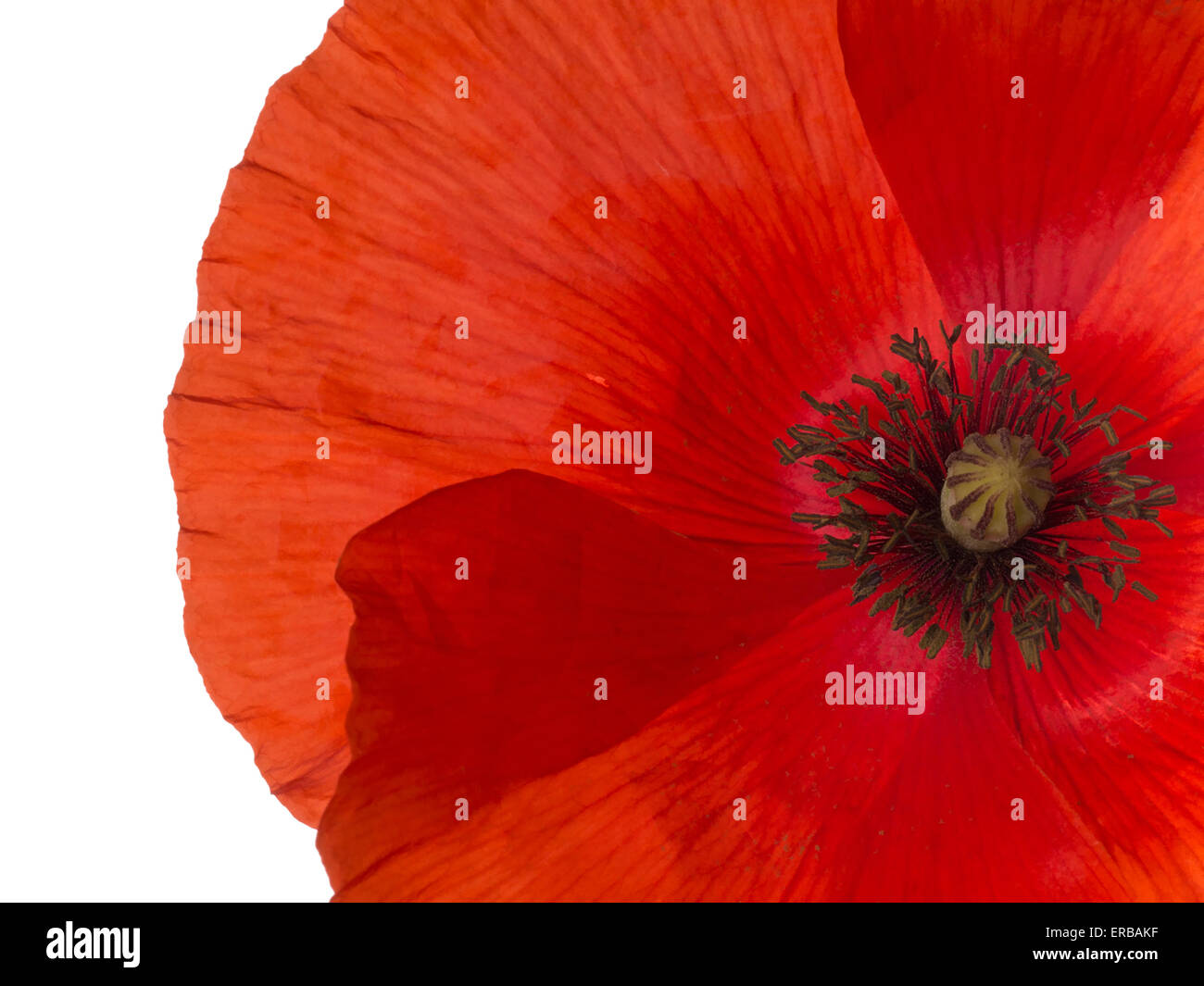 Red Flanders Poppy Closeup White Background Remembrance Day Etc