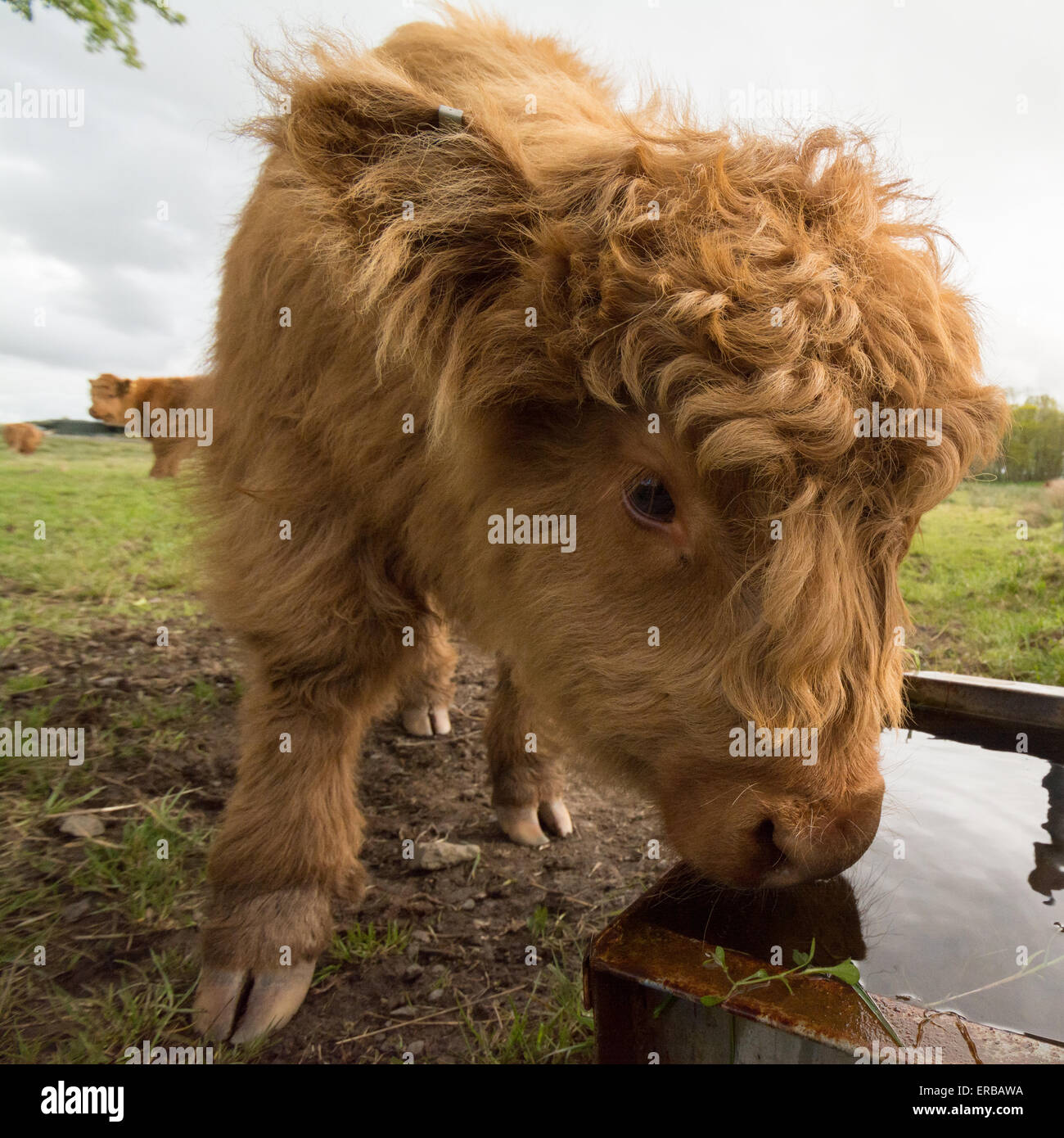 highland calf in field drinking from water trough - Scotland, UK - Stock Image