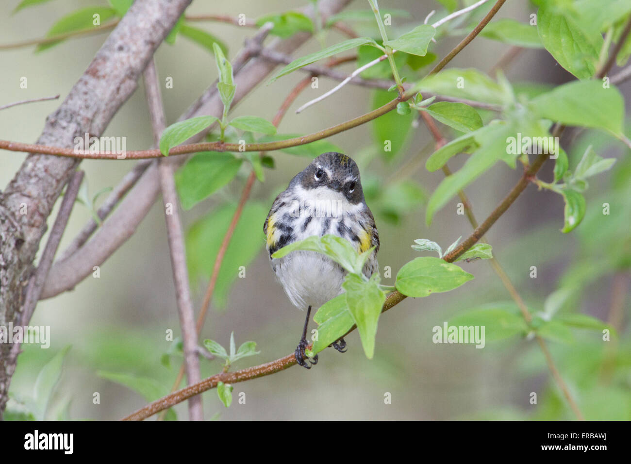 Yellow-rumped warbler (Setophaga coronata ) during the Spring migration, Magee Marsh, Ohio. - Stock Image