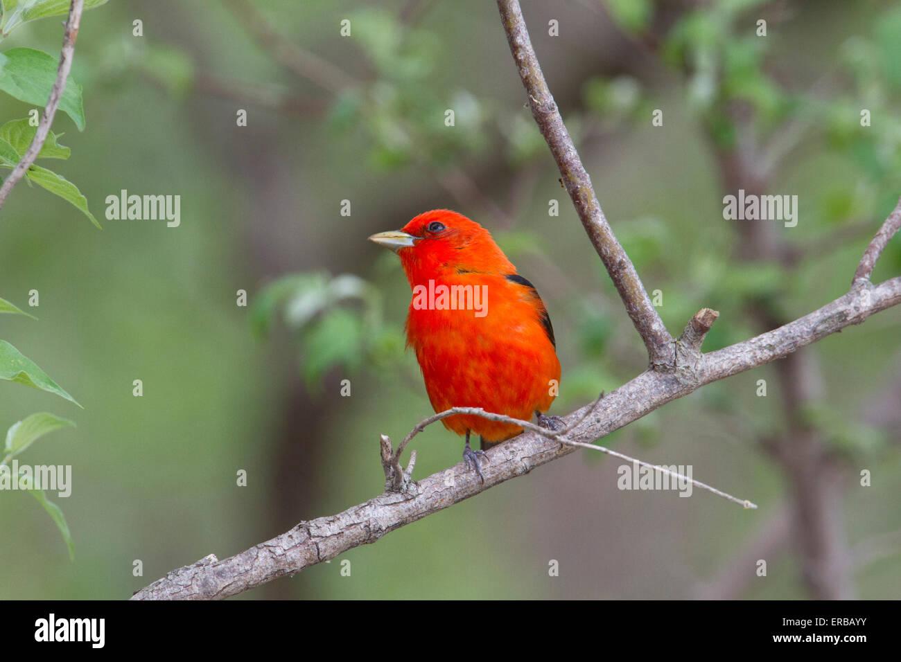 Male Scarlet Tanager (Piranga olivacea) - Stock Image