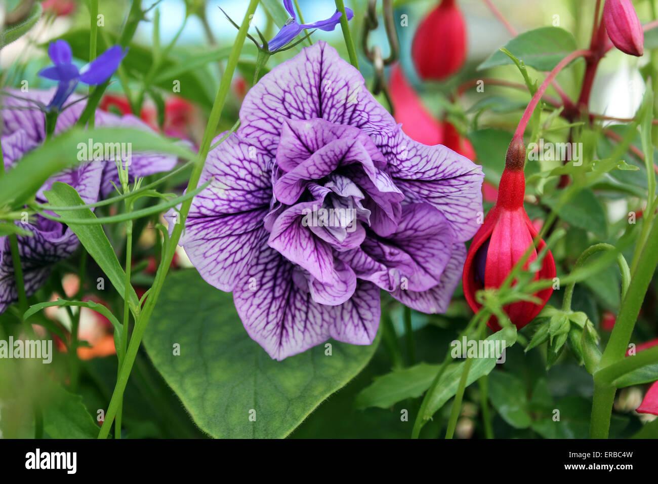 Petunia double Mauve Priscilla growing in hanging basket Stock Photo