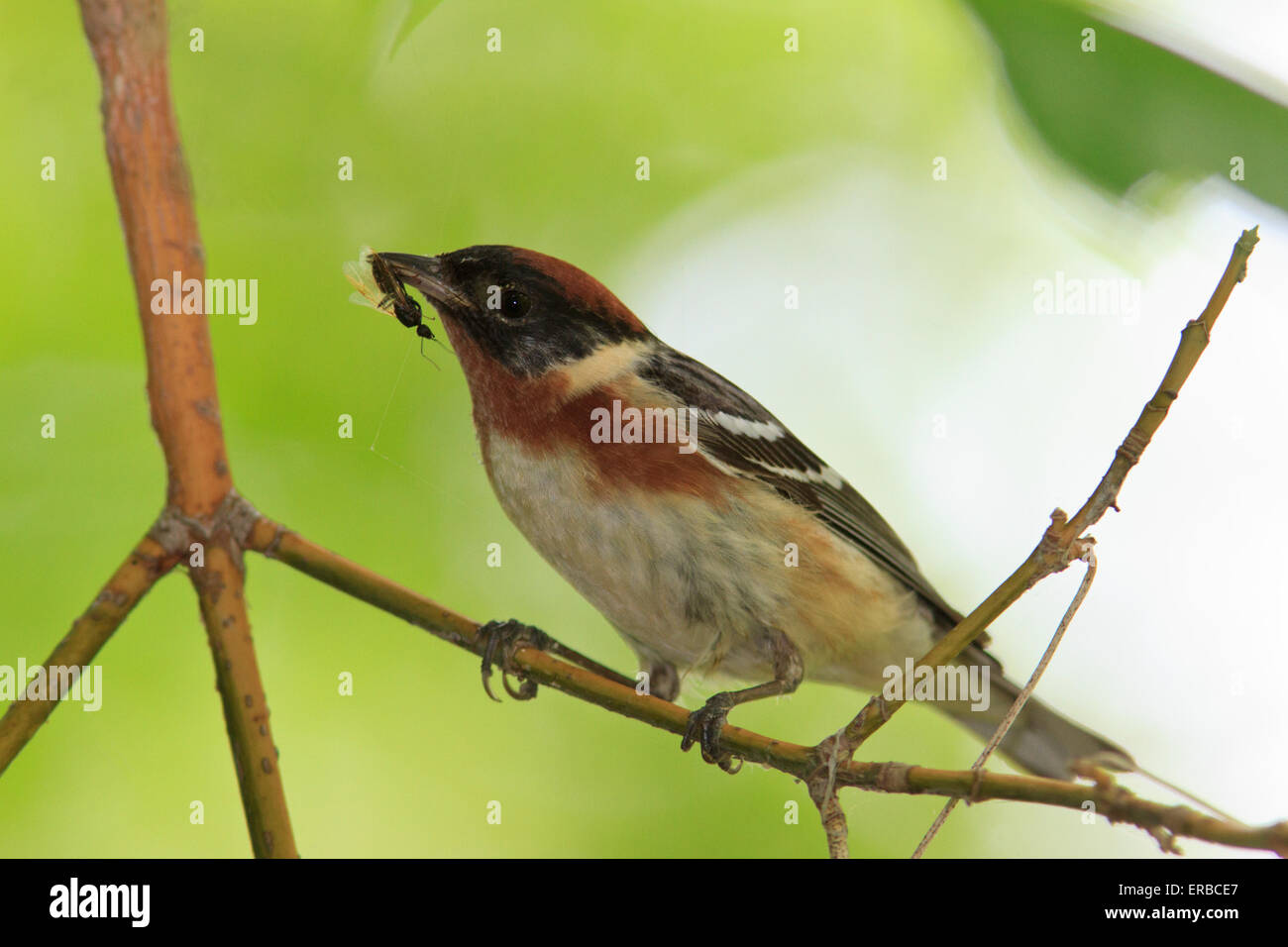 Bay-breasted Warbler   (Setophaga castanea) with an ant in its beak, during the Spring migration. - Stock Image