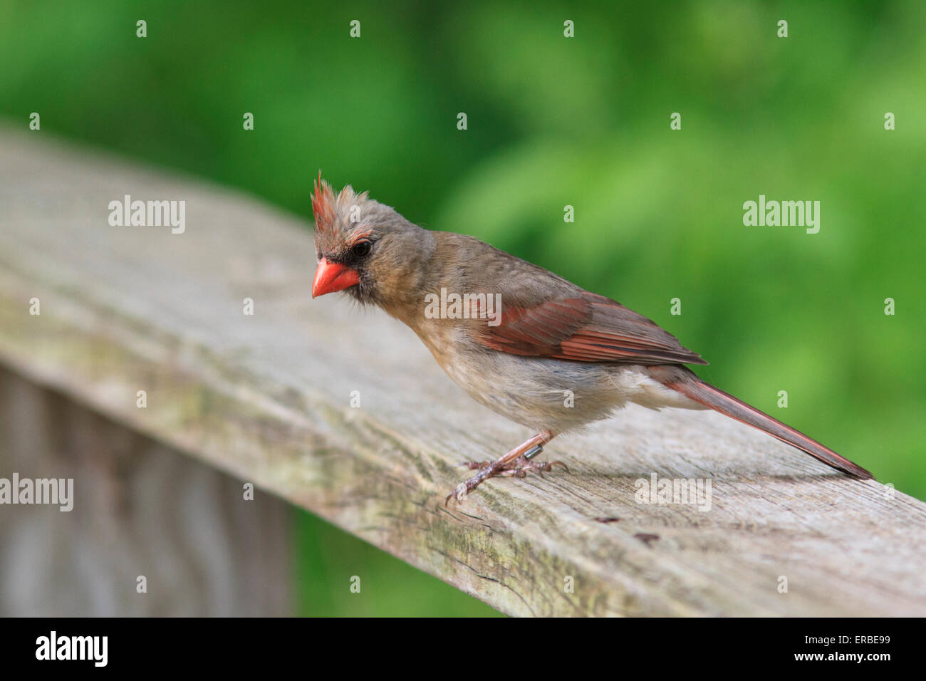 Female Northern Cardinal (Cardinalis cardinalis ) - Stock Image