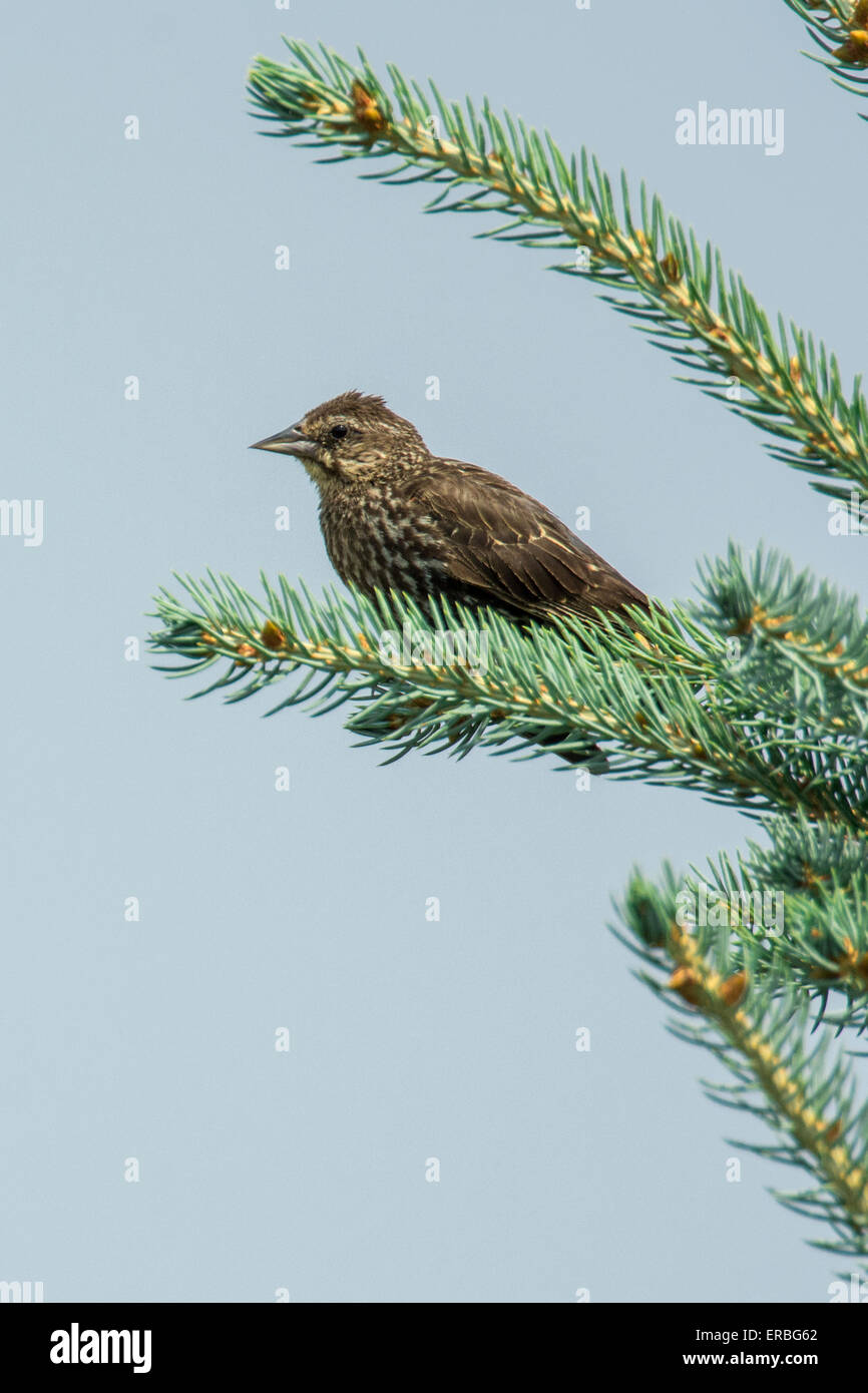 Female Red-winged Blackbird perched in Norway Spruce tree. - Stock Image