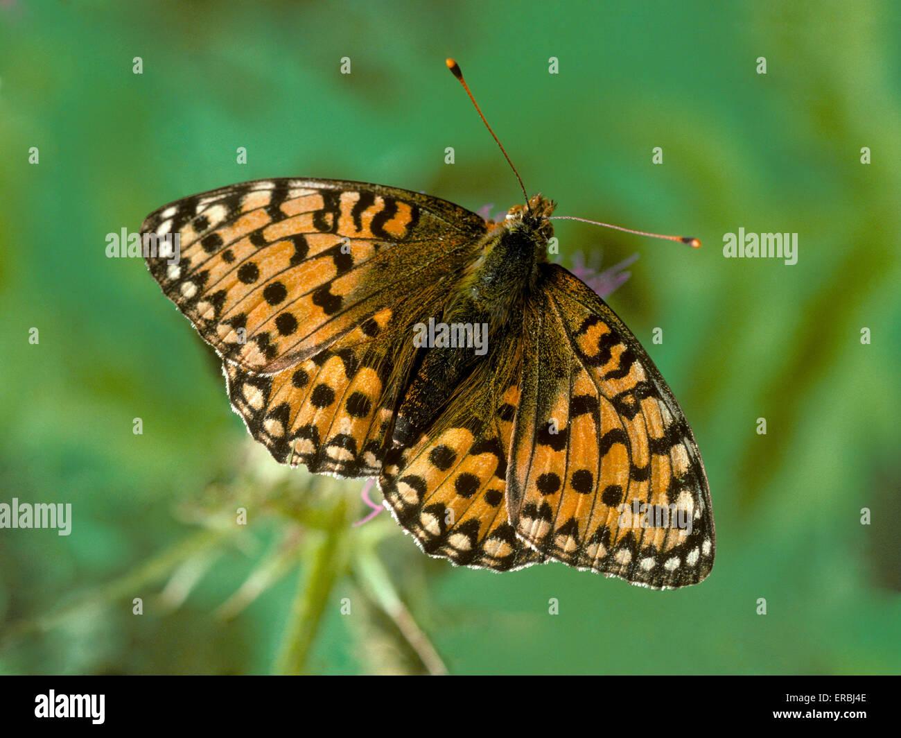 Dark Green Fritillary - Argynnis aglaia - Stock Image