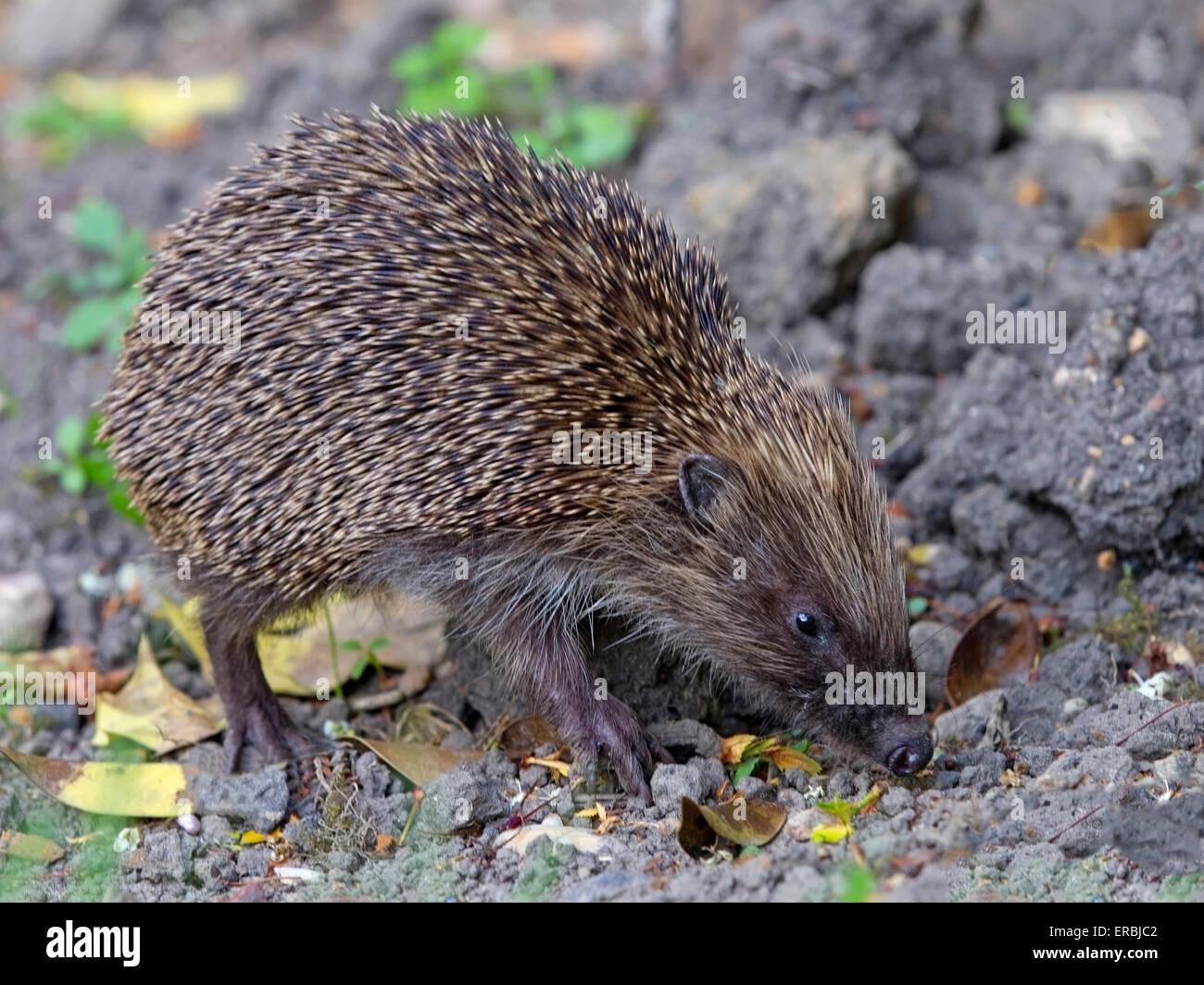 European hedgehog - Stock Image