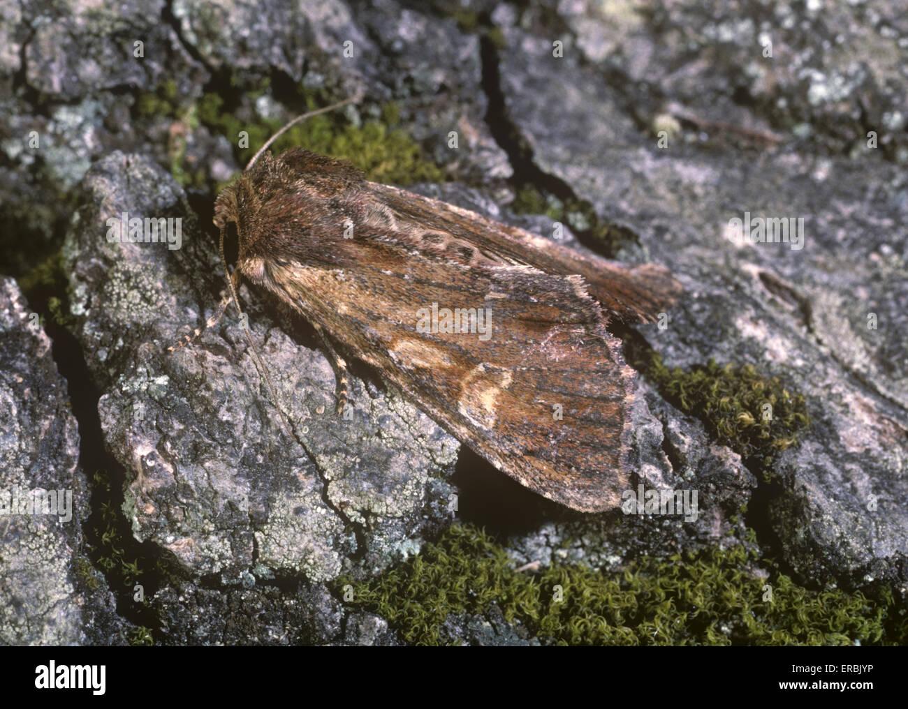 Clouded-bordered Brindle - Apamea crenata - Stock Image