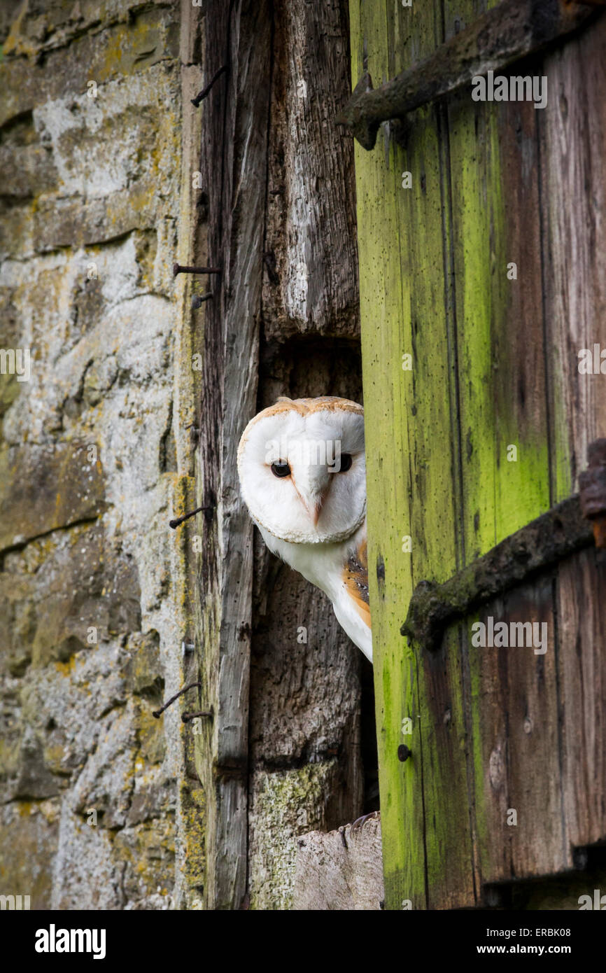 Barn owl Tyto alba (captive), adult, perched in rustic barn window, Castle Caereinion, Wales, UK in May. - Stock Image