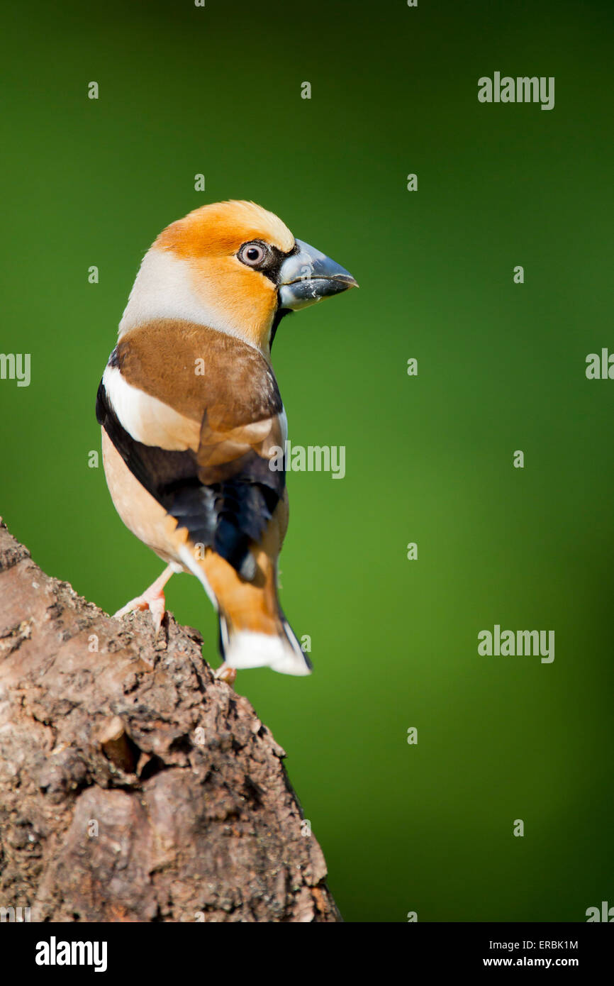 Hawfinch Coccothraustes coccothraustes, male perched on tree at St. Meyme de Rozens,  Dordogne, France in May. Stock Photo