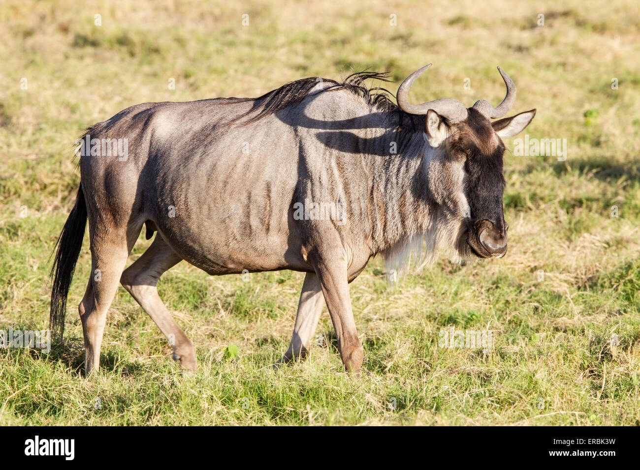 wildebeest, or gnu,  (Connochaetes taurinus) lone adult walking on plains, Masai Mara, Kenya, Africa - Stock Image