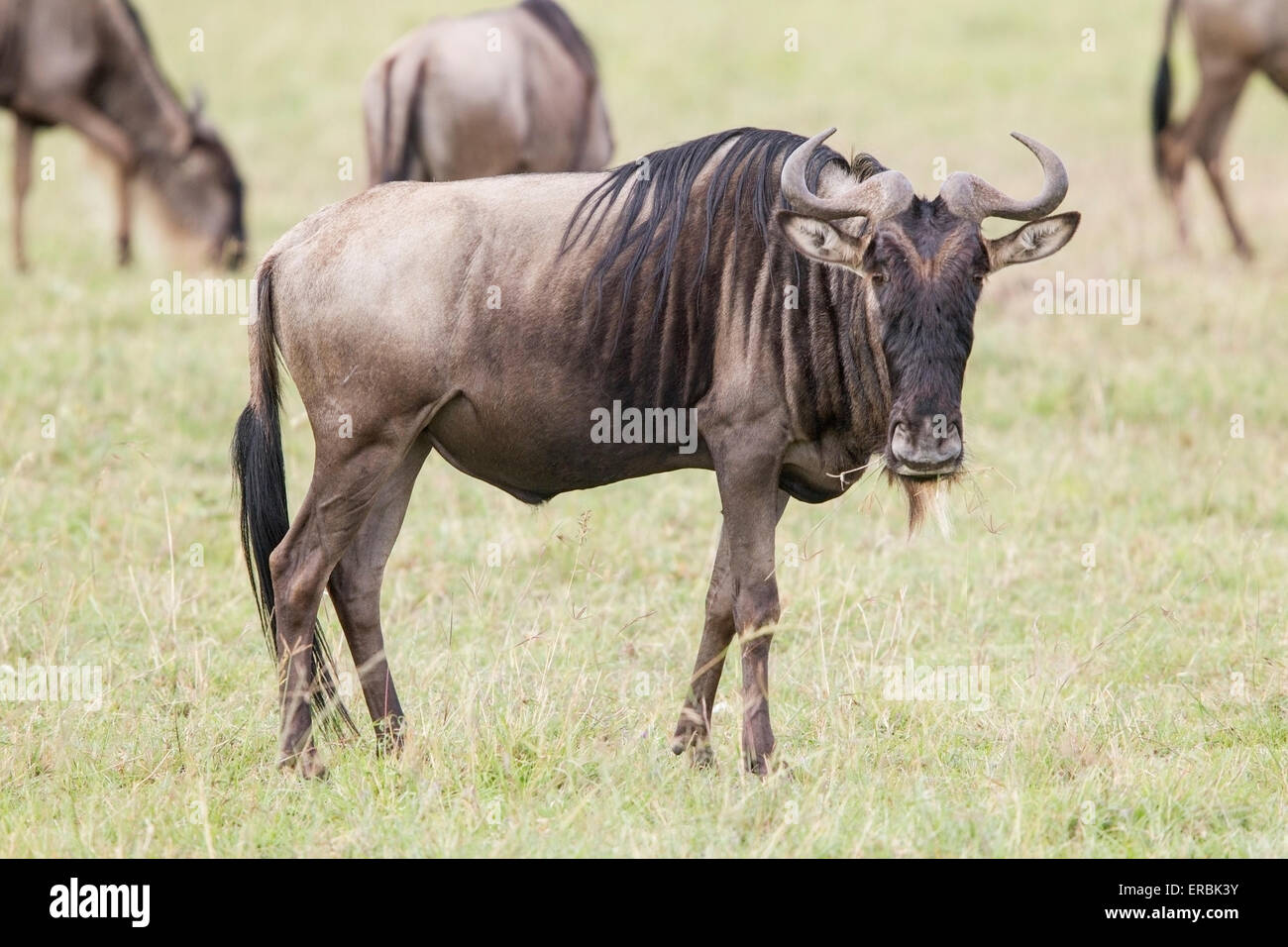 wildebeest, or gnu,  (Connochaetes taurinus) adult in herd on plains, Masai Mara, Kenya, Africa - Stock Image