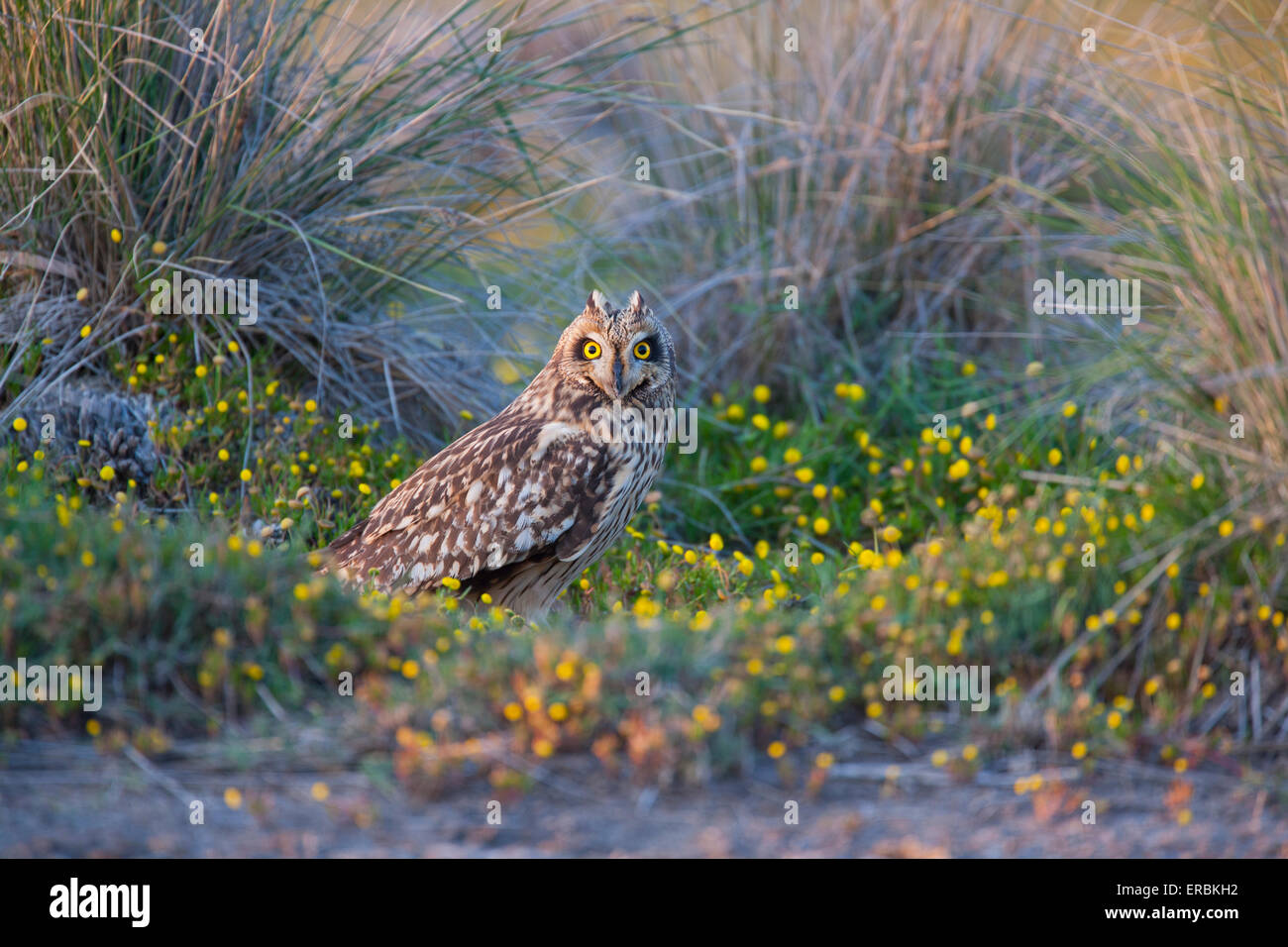 Short-eared Owl Asio flammeus, perched in grass at Skala Kalloni, Lesvos in April. - Stock Image
