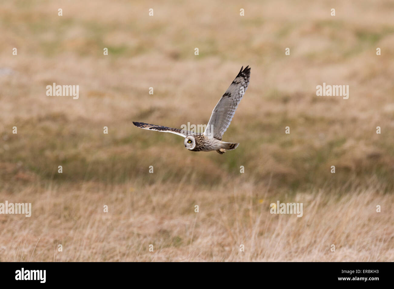 Short-eared Owl Asio flammeus, hunting in flight over grassland, North Uist, Outer Hebrides, Scotland, UK. - Stock Image