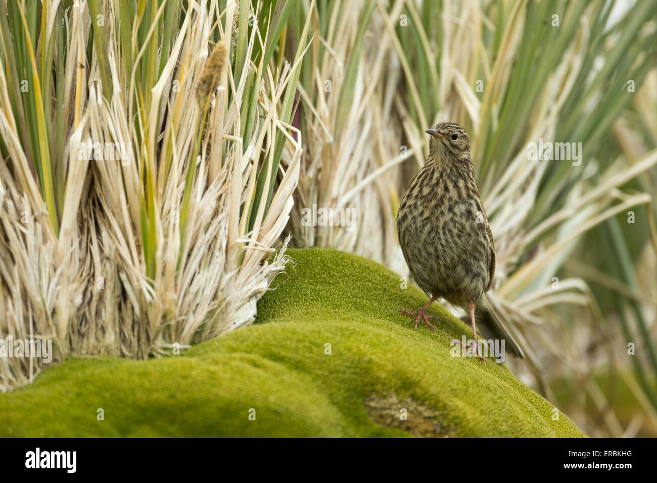 South georgia pipit Anthus antarcticus, foraging along rocky shoreline, Cooper Bay, South Georgia in January. - Stock Image