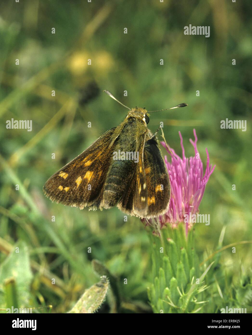 Silver-spotted Skipper - Hesperia comma - Stock Image