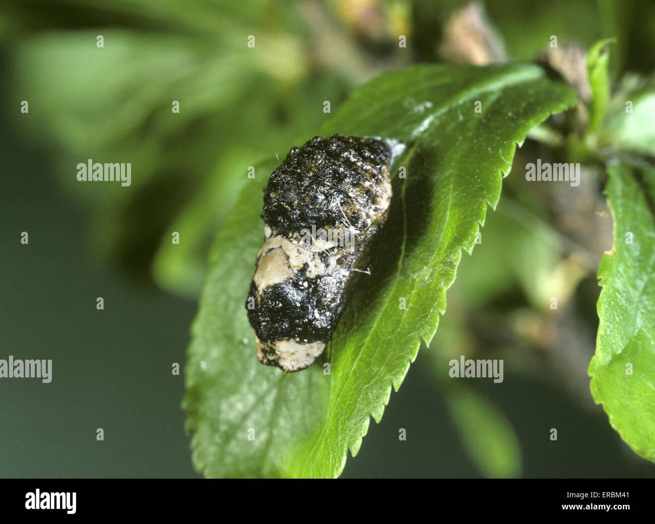 Black Hairstreak - Satyriuim pruni - pupa - Stock Image