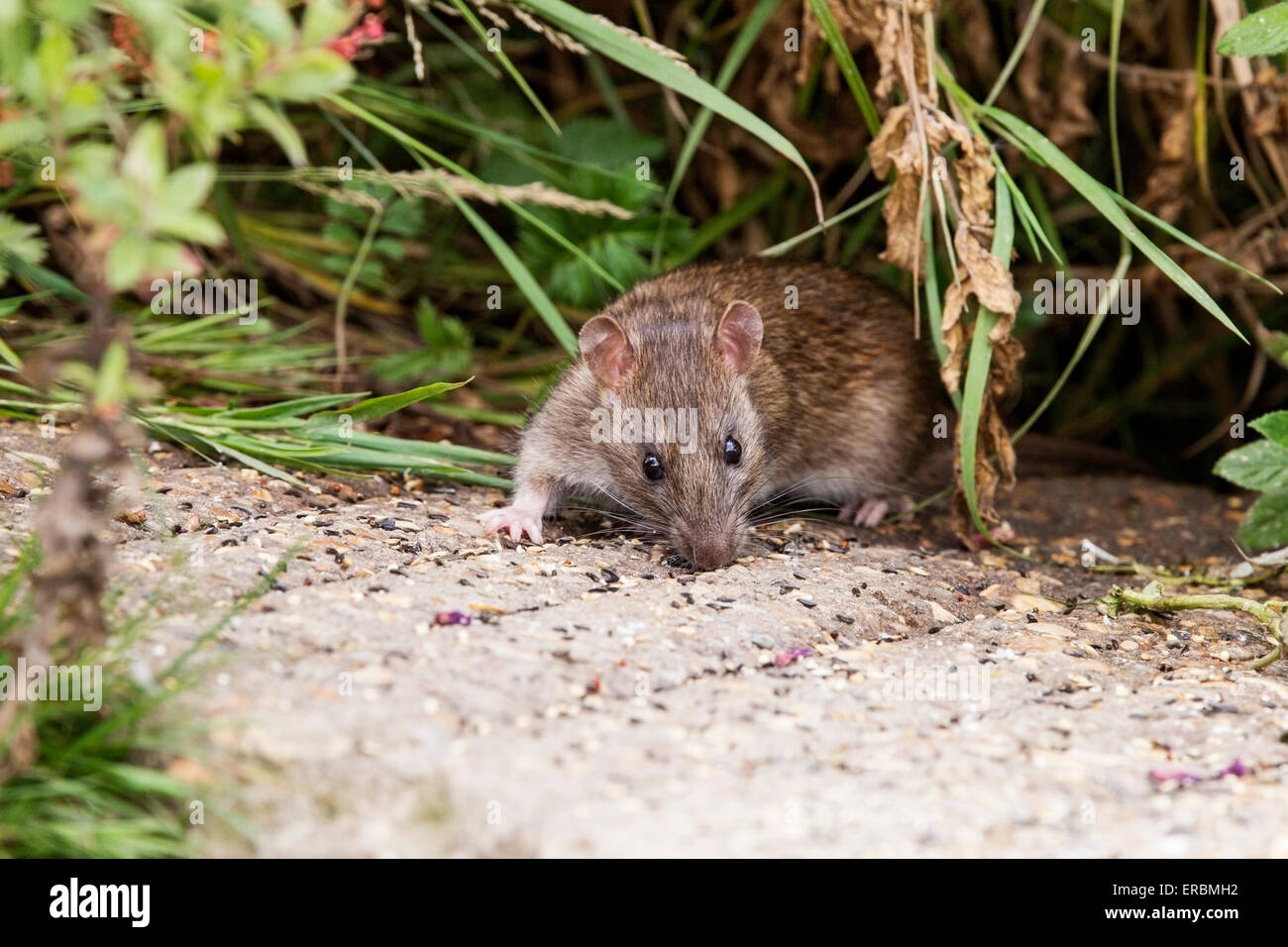brown rat (Rattus norvegicus) feeding on grain on the ground, Norfolk, England, United Kingdom - Stock Image