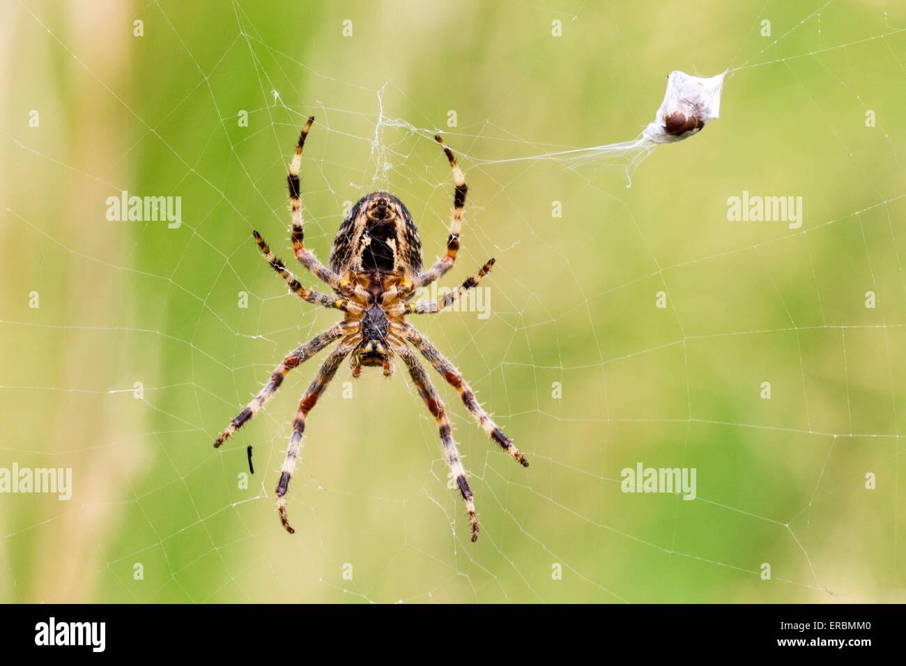 common garden spider araneus diadematus adult in web with prey norfolk england united kingdom - Common Garden Spider