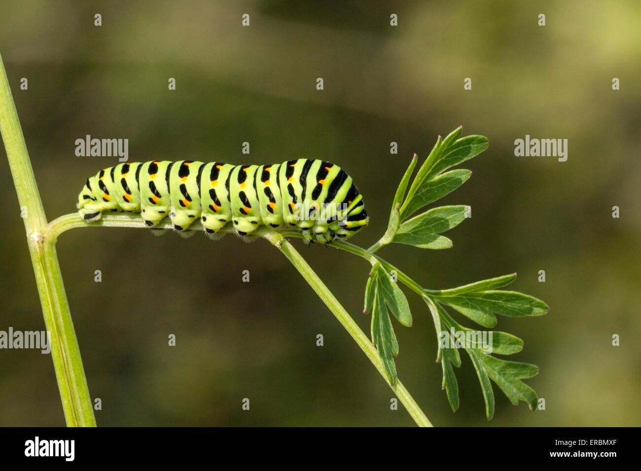 swallowtail butterfly (Papilio machaon) caterpillar (larva) feeding on milk parsley, Norfolk Broads, England, United Stock Photo