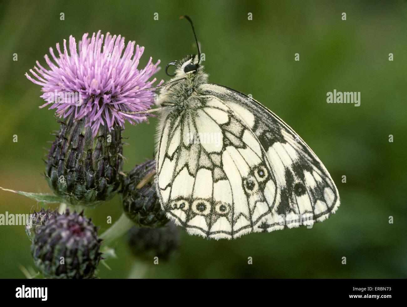 Marbled White - Melanargia galathea - Stock Image