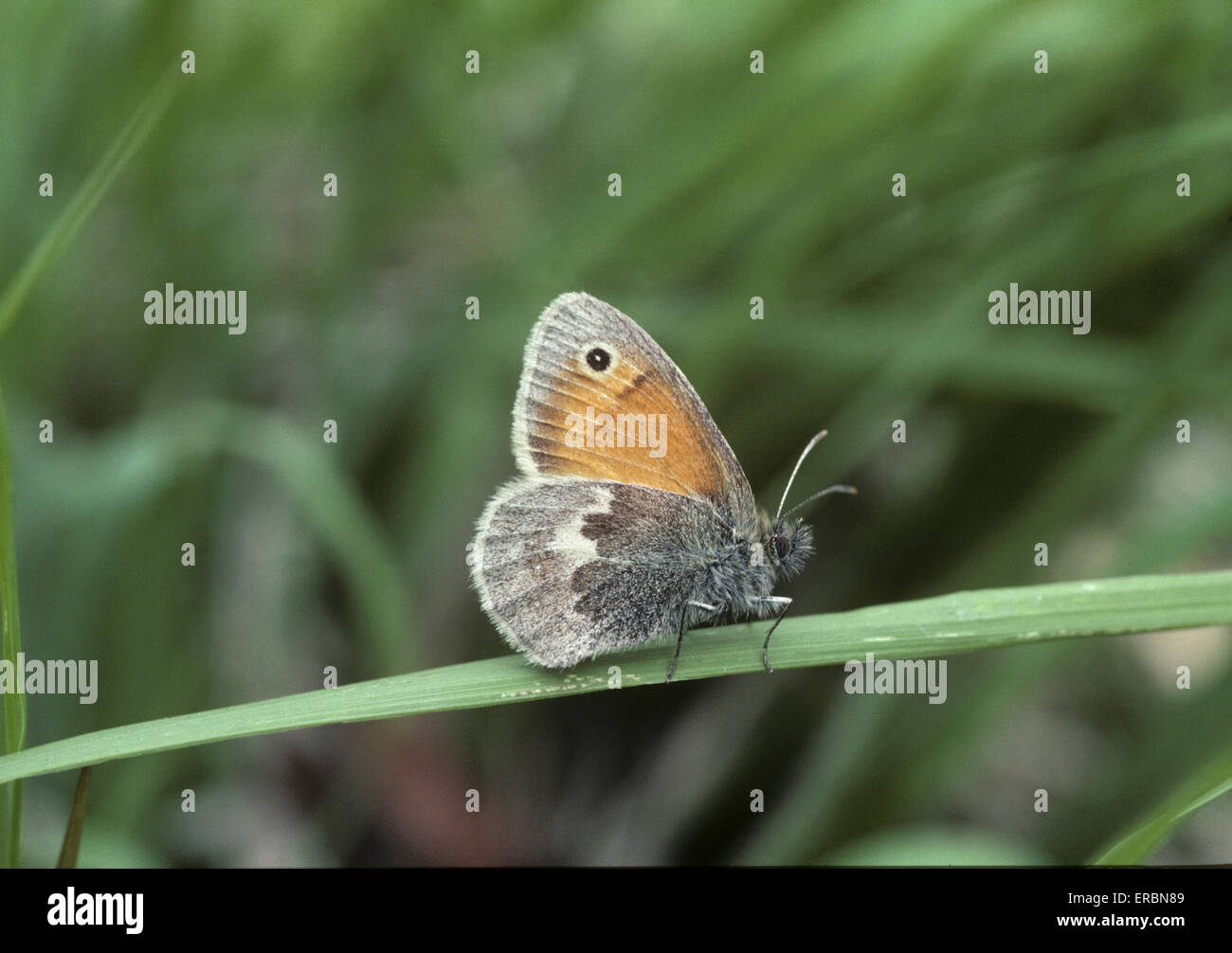 Small Heath - Coenonympha pamphilus - Stock Image