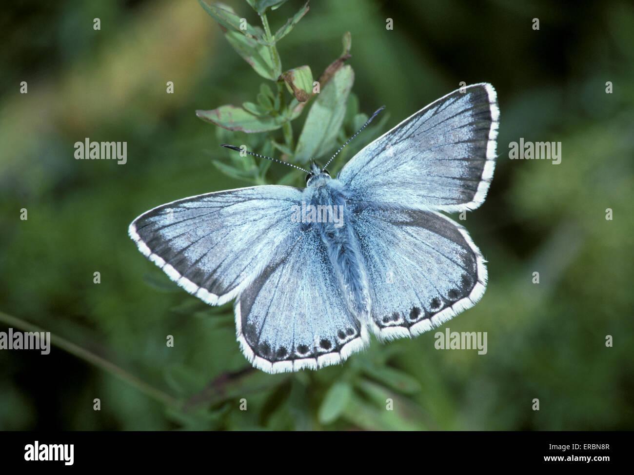 Chalkhill Blue - Polyommatus coridon - Stock Image