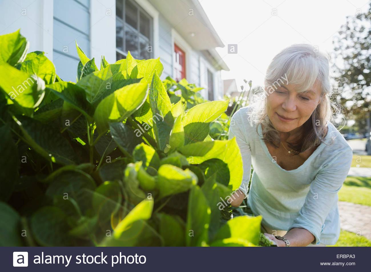 Senior woman trimming bush in sunny yard - Stock Image