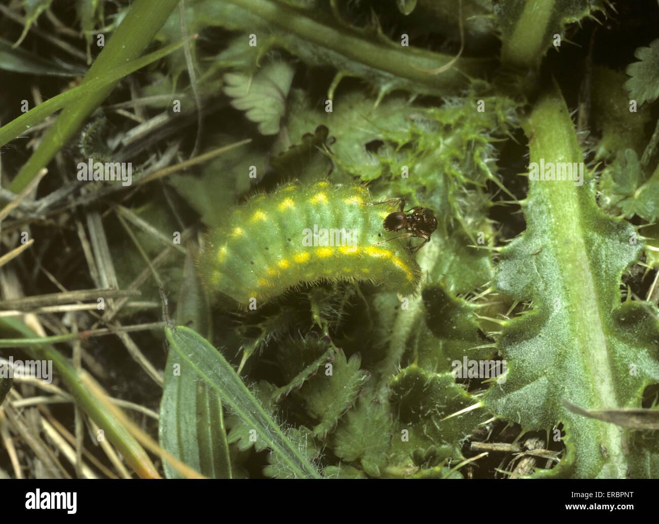 Chalkhill Blue - Polyommatus coridon - larva - Stock Image