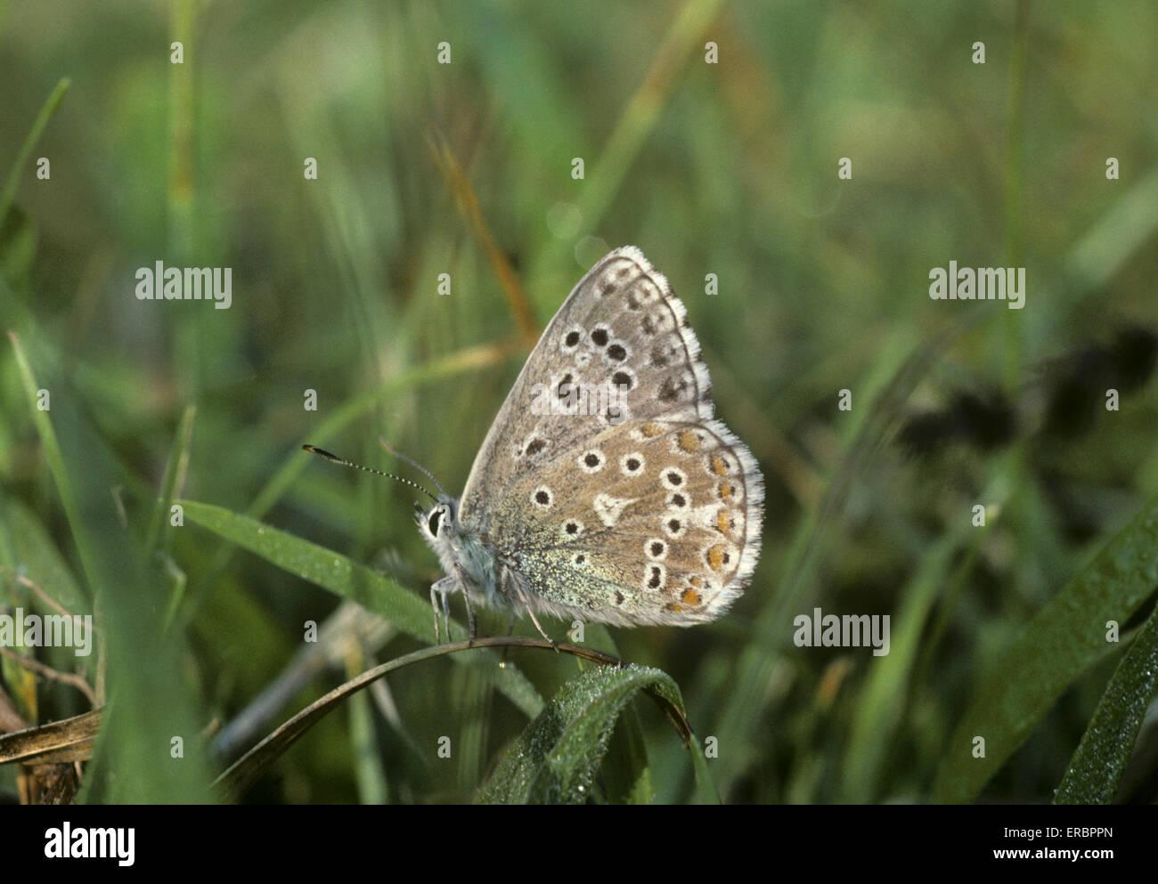 Adonis Blue - Polyommatus bellargus - Stock Image
