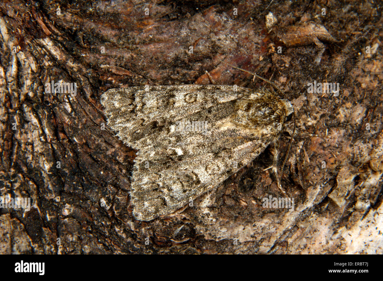 Knot Grass - Acronicta rumicis - Stock Image