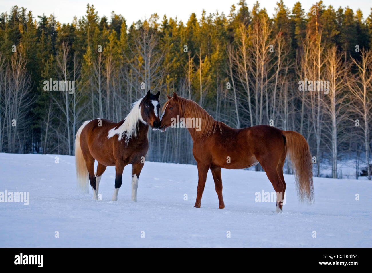Arabian chestnut Stallion and Paint Arabian Gelding together in meadow on snow - Stock Image