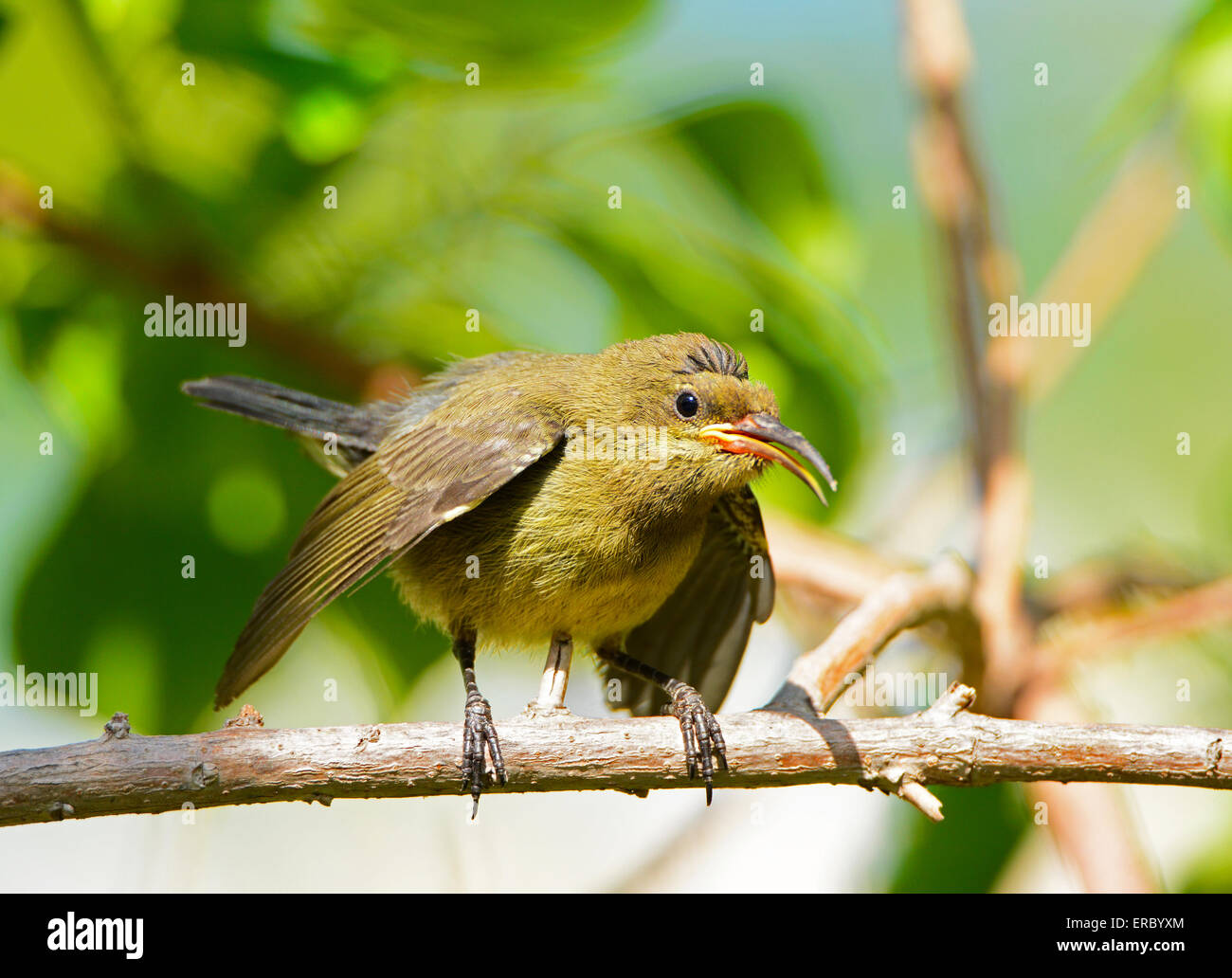 Chick begging for food - Stock Image