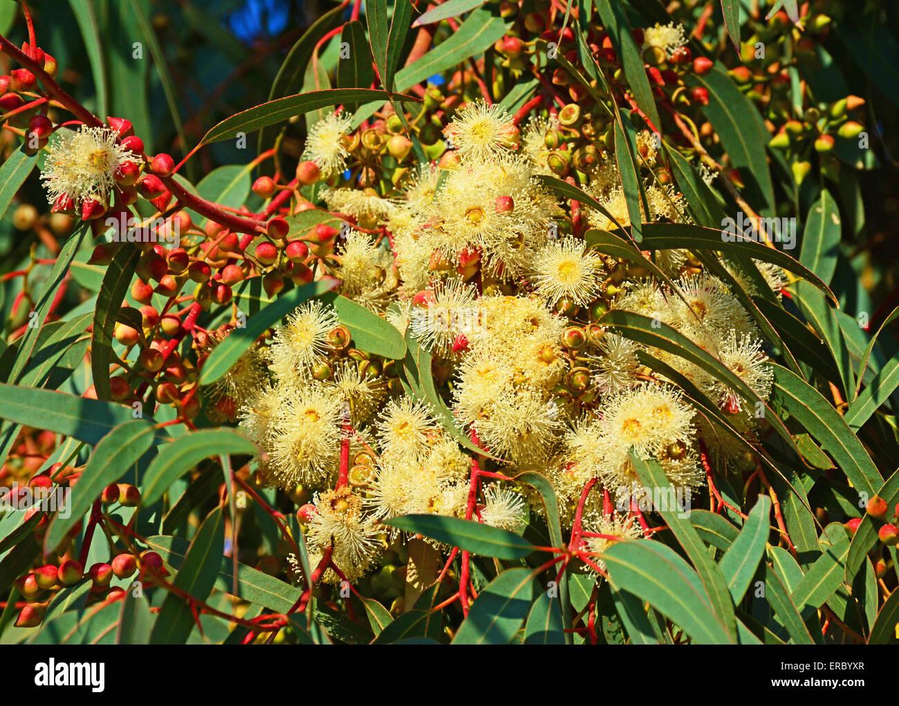 Eucalyptus flowers - Stock Image