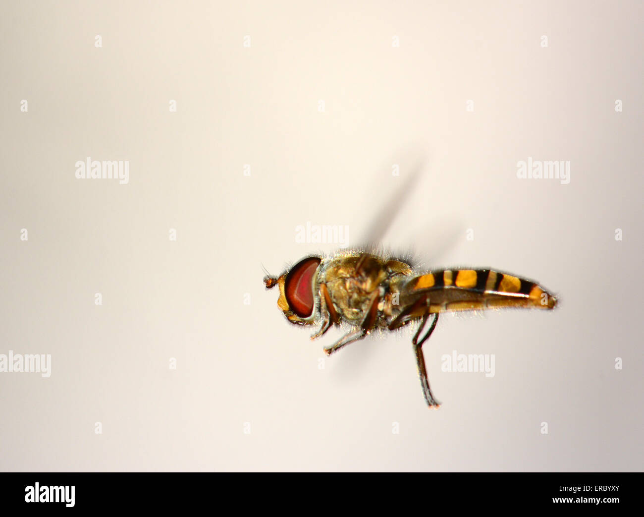 Hover fly in flight - Stock Image