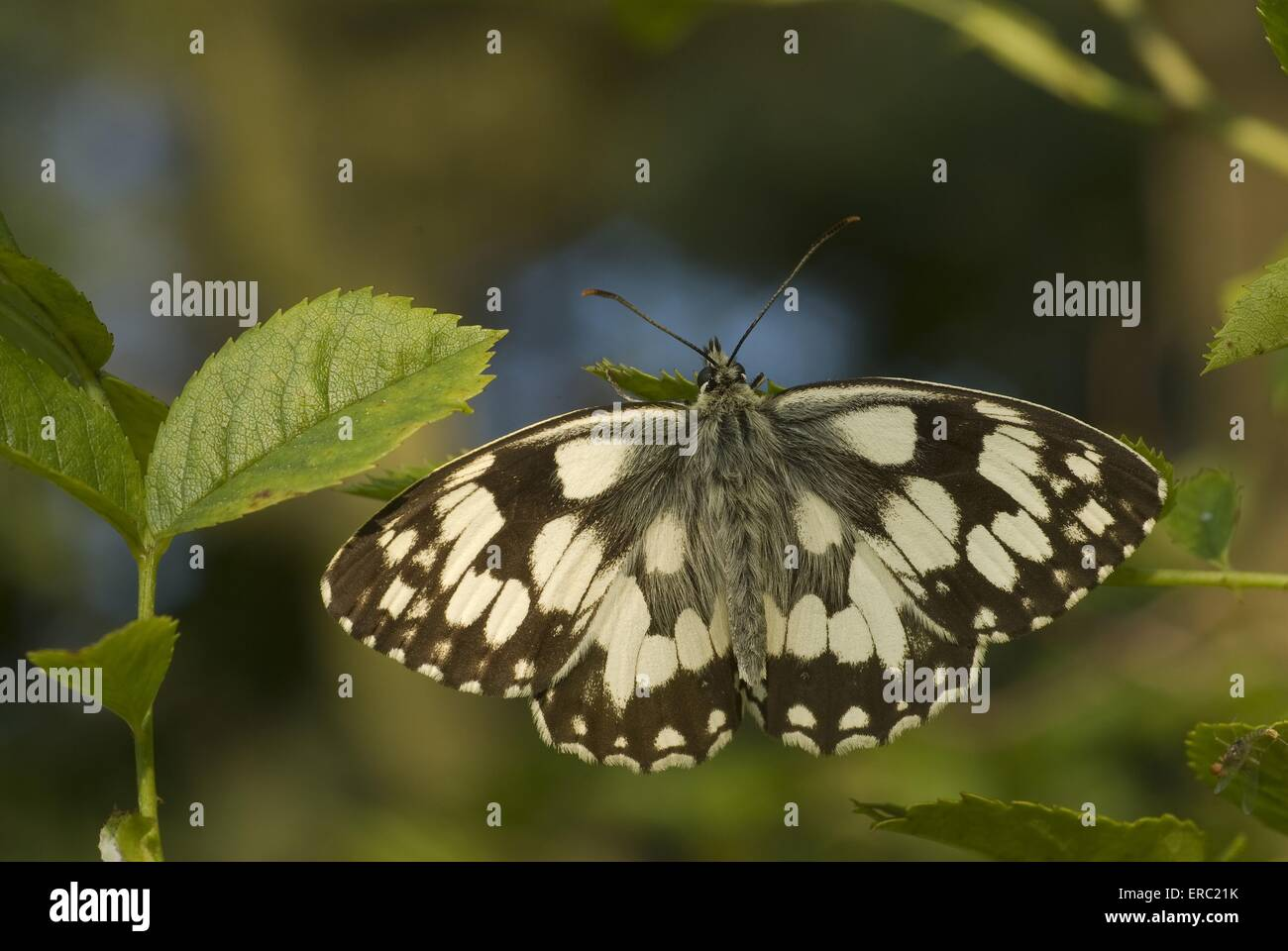 marbled white - Stock Image