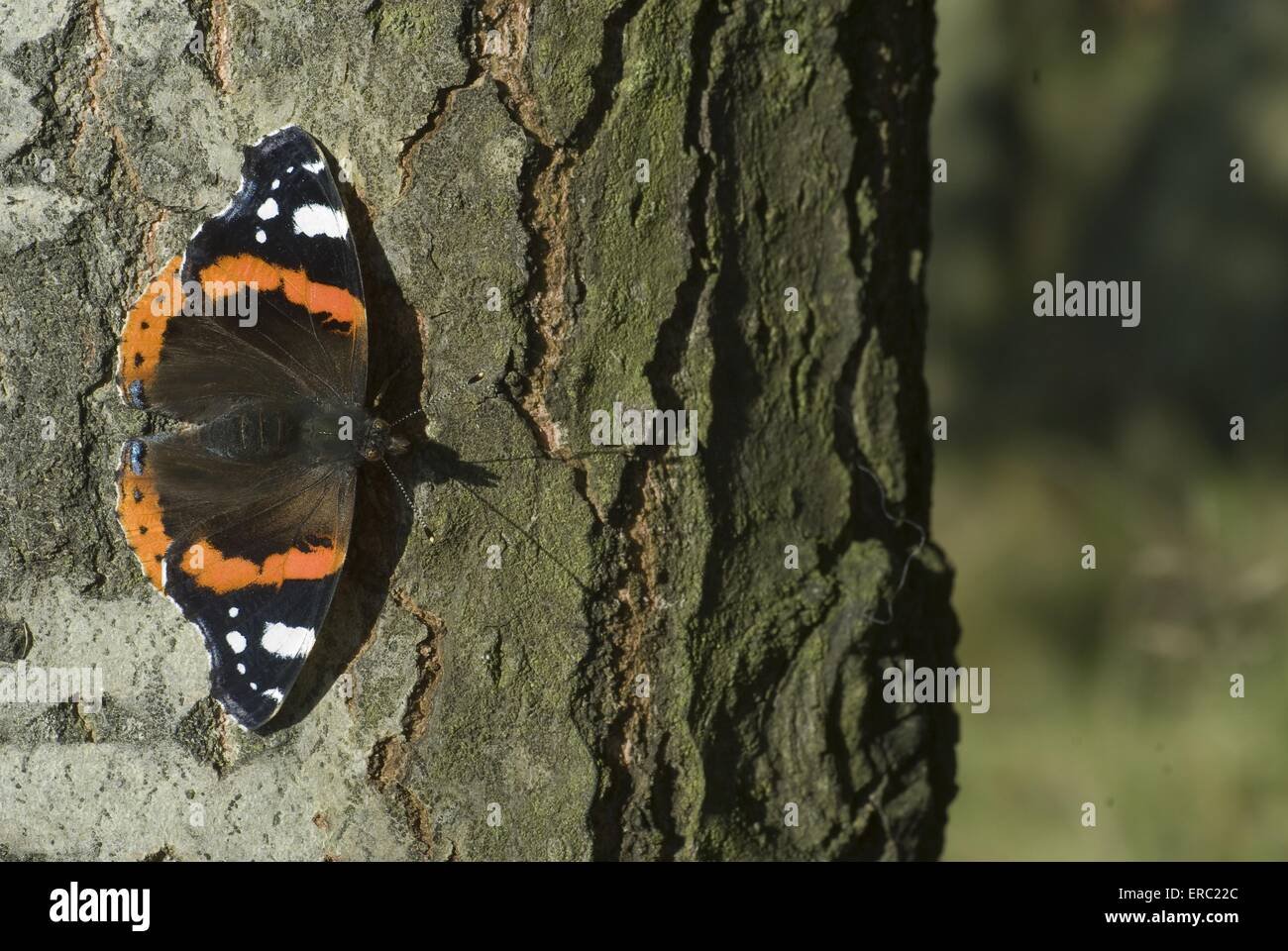 butterfly - Stock Image