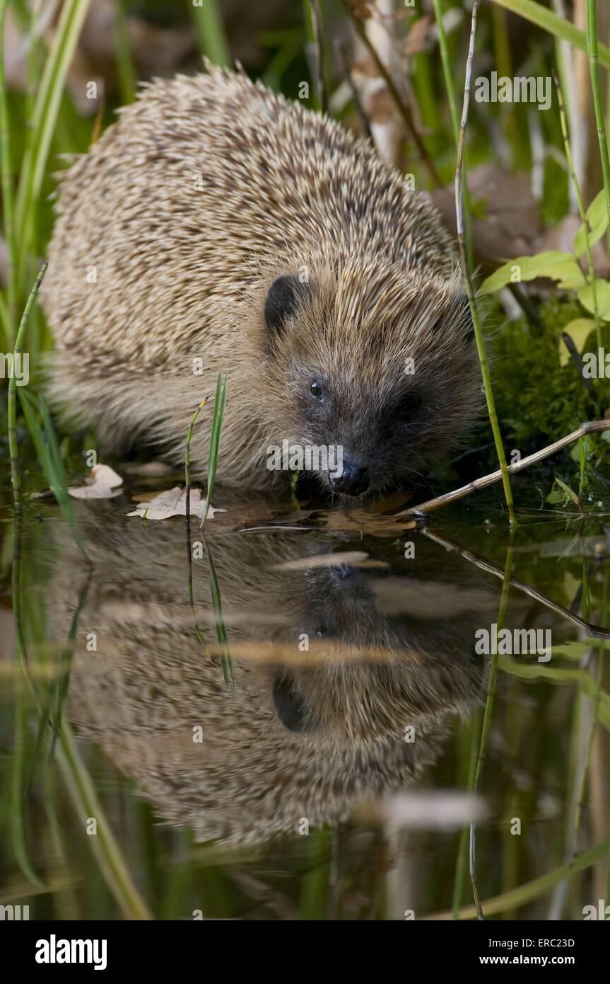 hedgehog - Stock Image