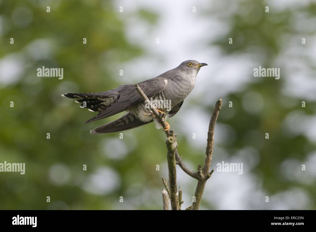 common cuckoo - Stock Image