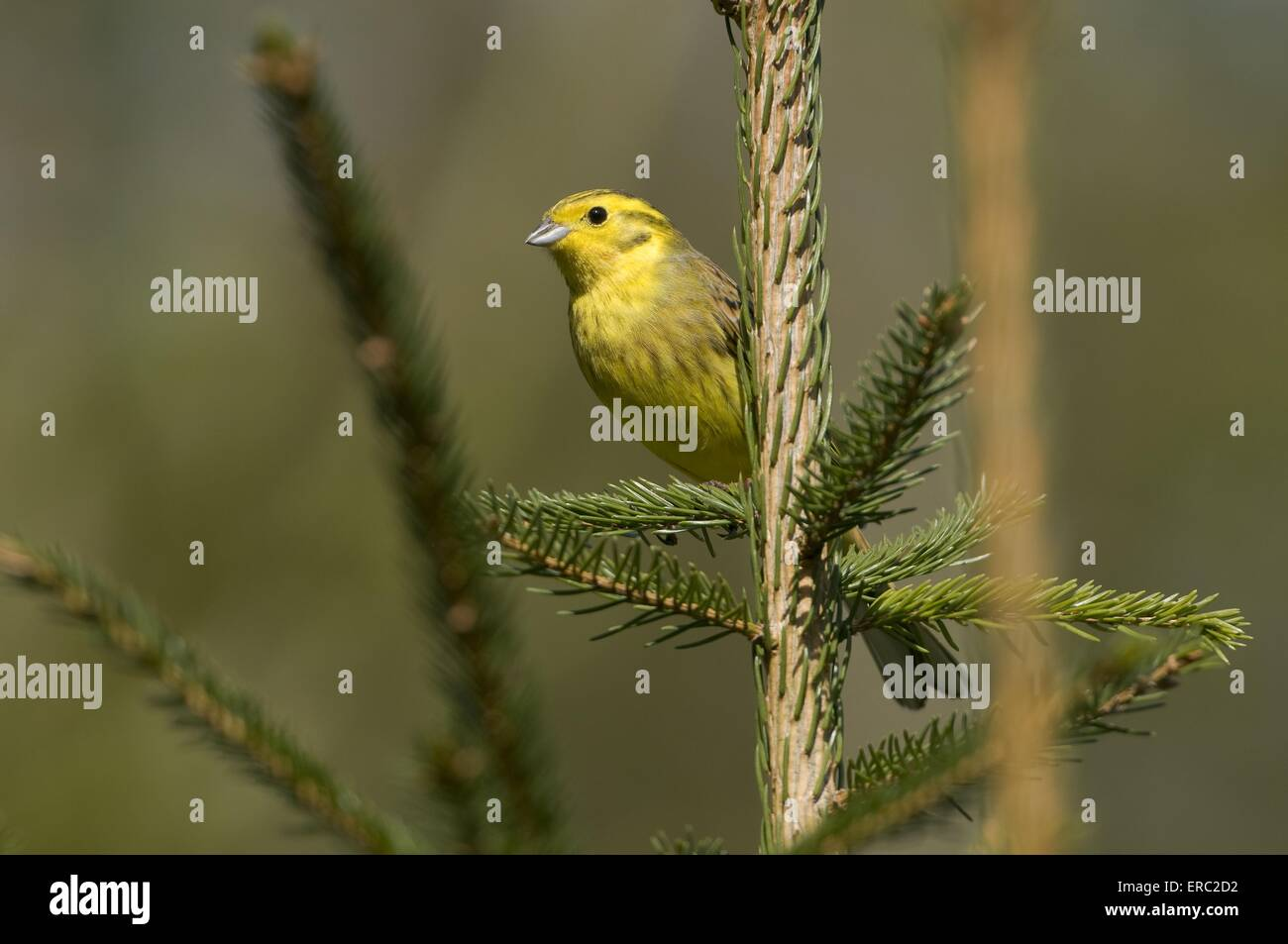 yellowhammer - Stock Image