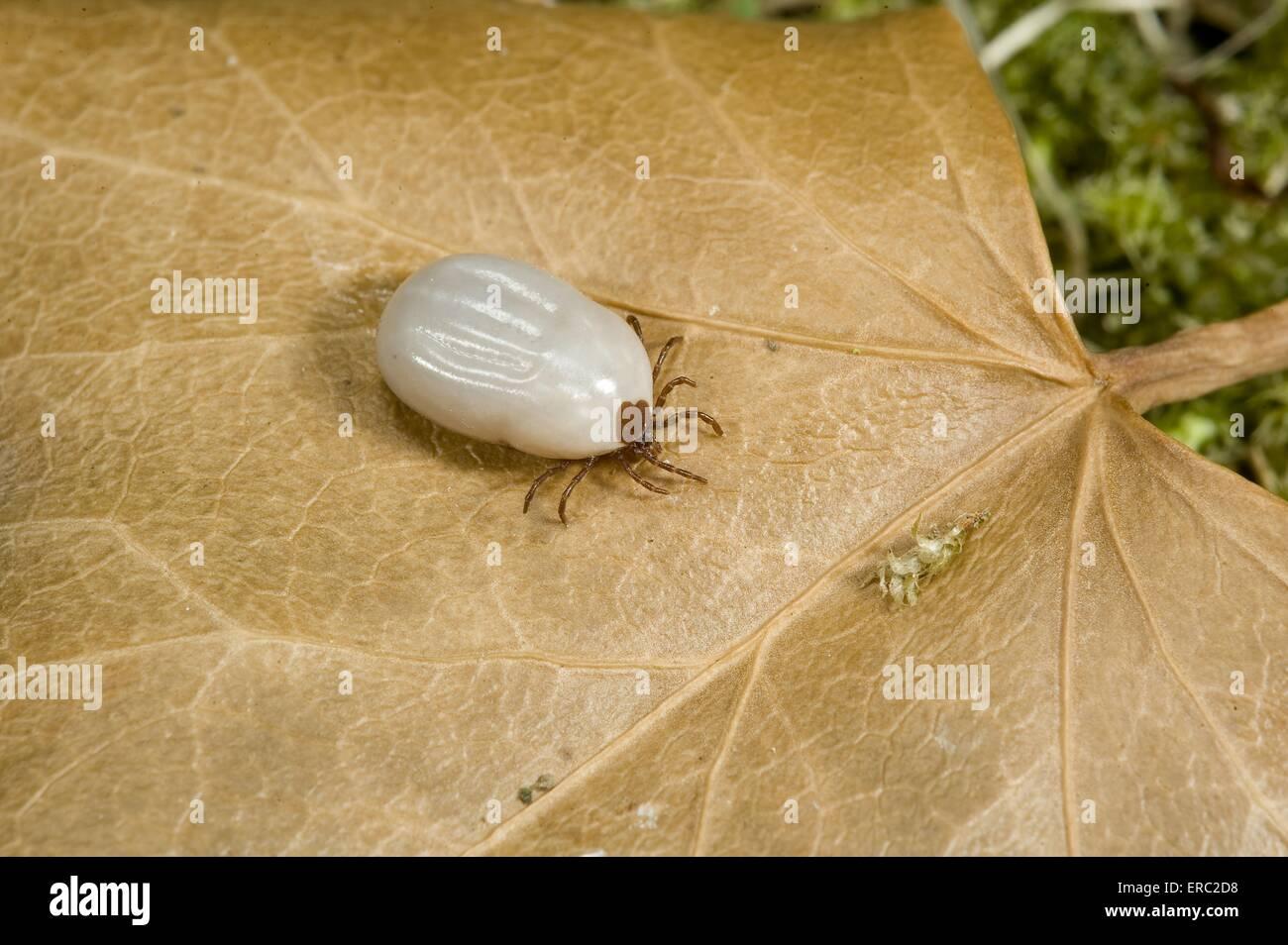 wood tick - Stock Image