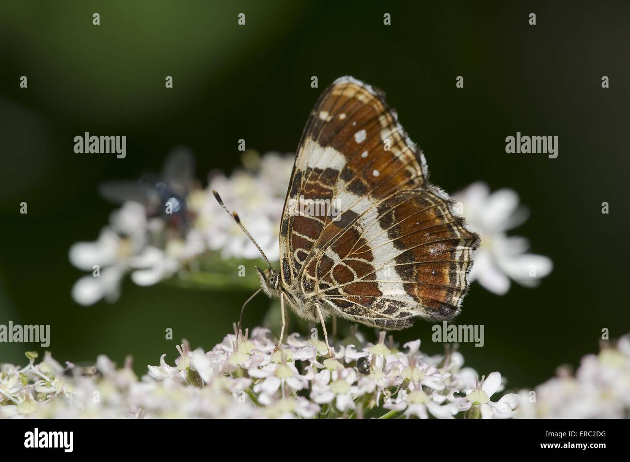 map butterfly - Stock Image