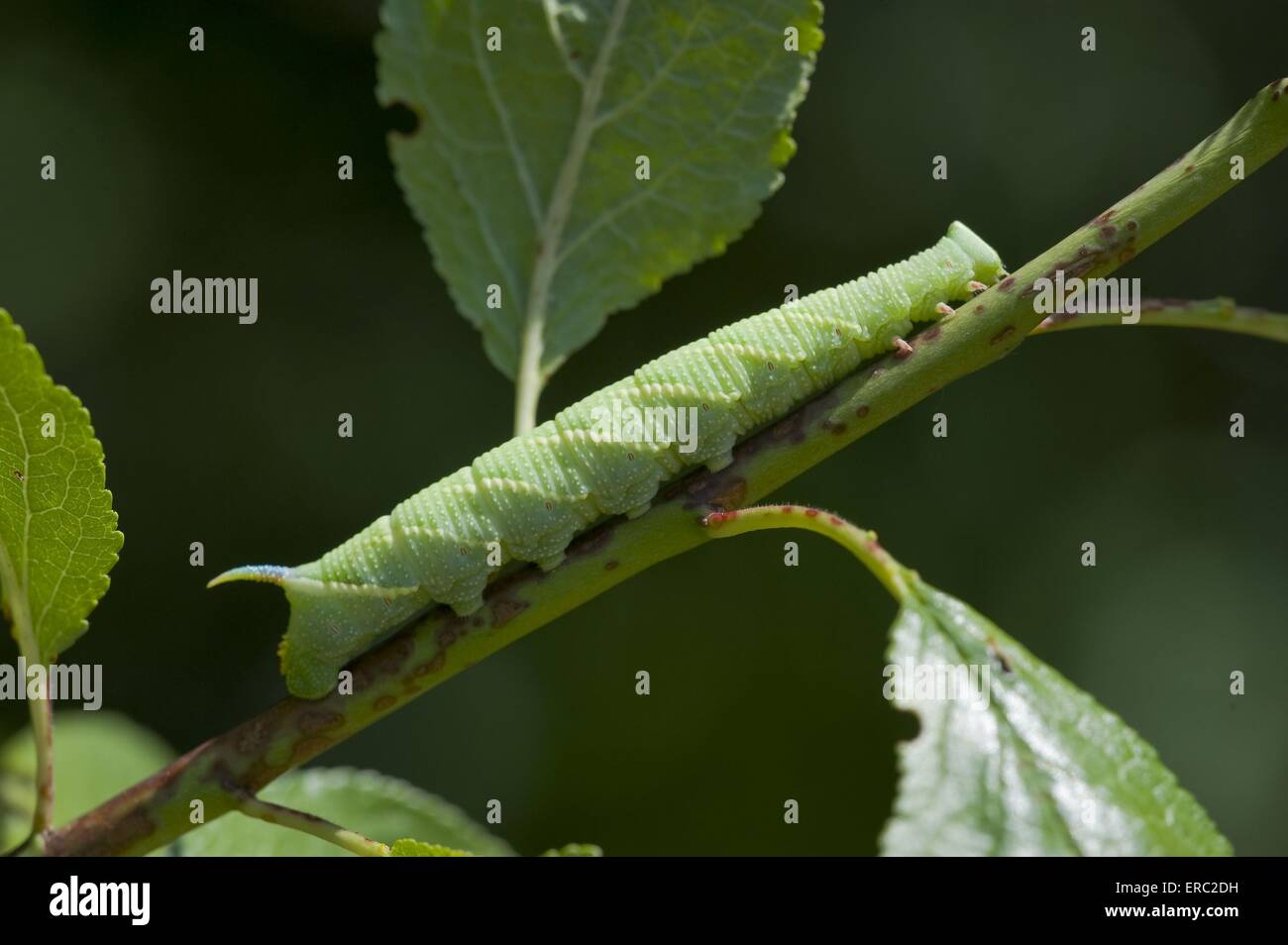 lime hawkmoth - Stock Image